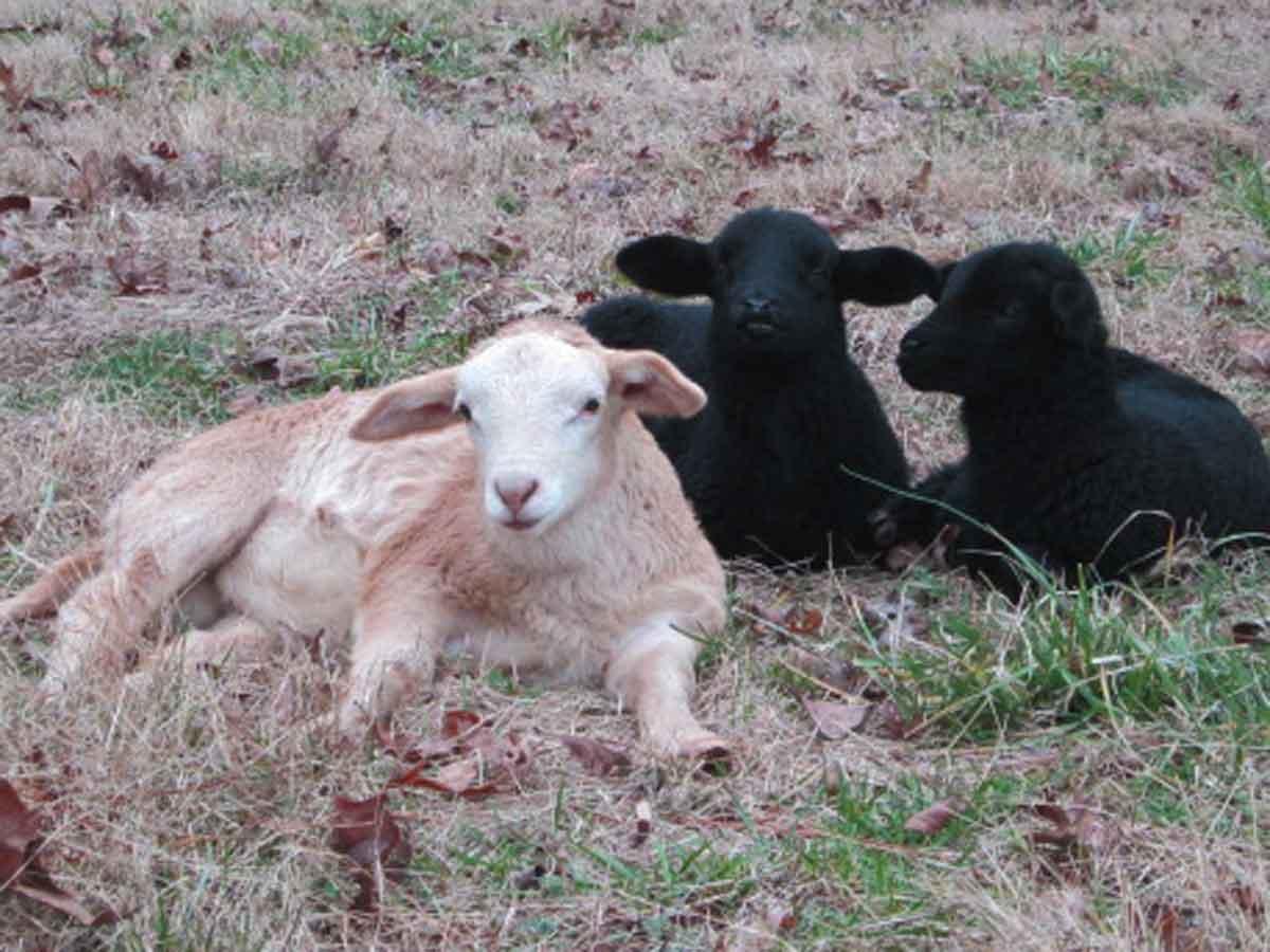 3-More-Lambs.jpg
