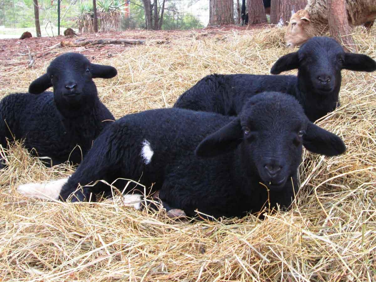 3-Black-Lambs.jpg