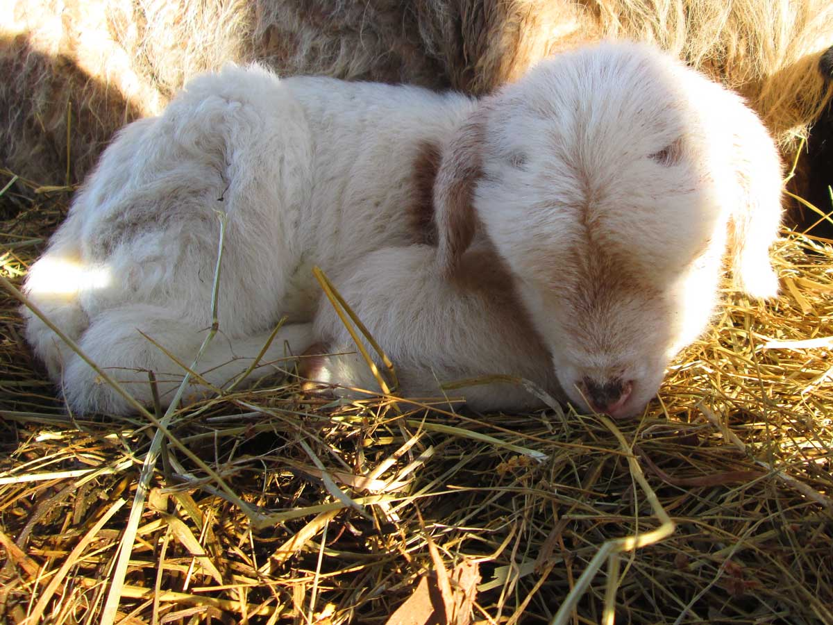 Mari-Sleeping-Ewe-Lamb.jpg
