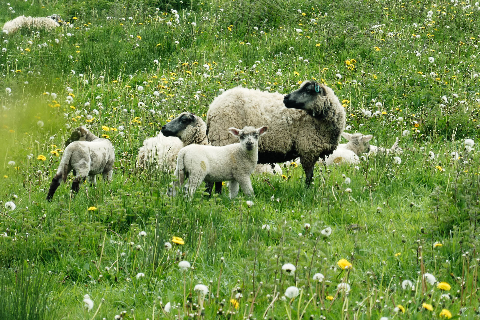 Ah my little lambs - April is lambing season, the species rich meadow provides a perfect nursery and lunch.
