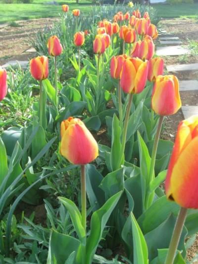 tulips-e1363918402689.jpg