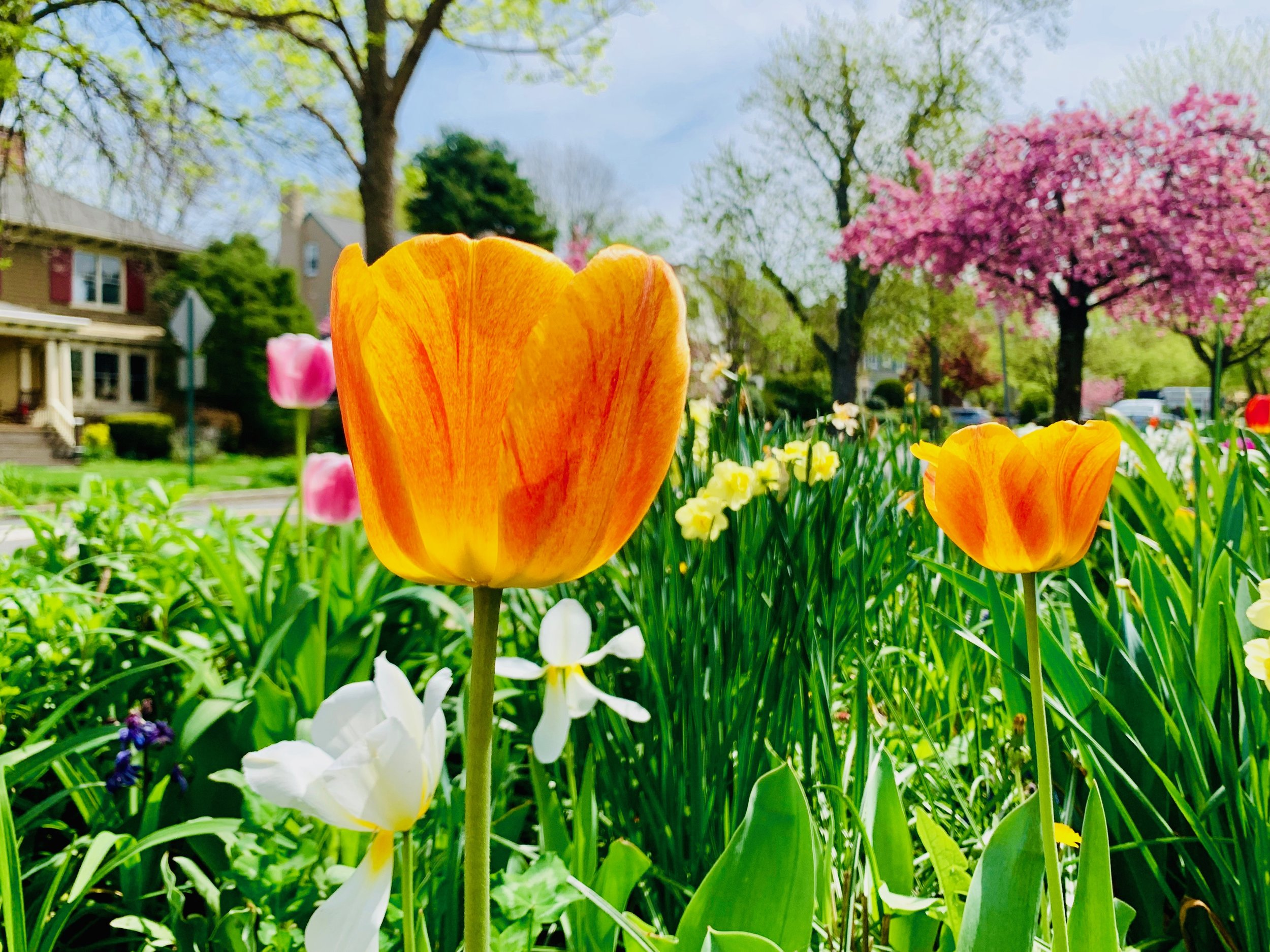 Tulips, South Orange, NJ