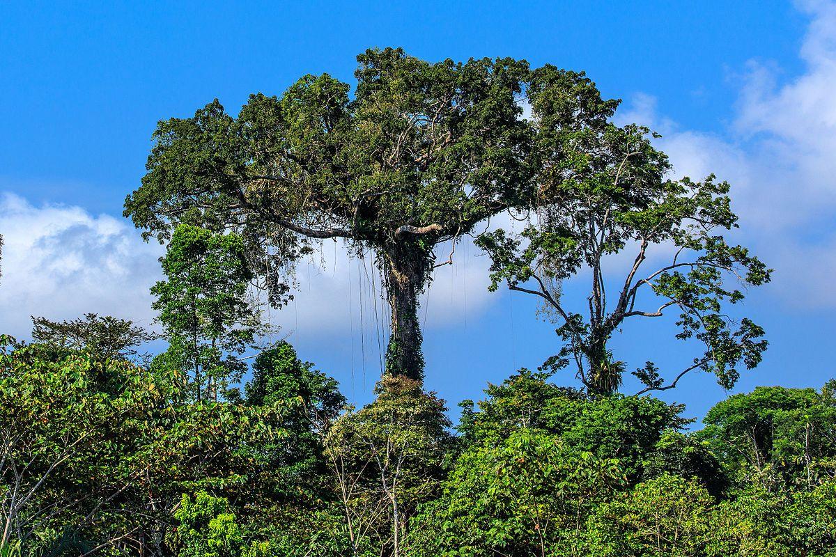 4_day_trip_to_La_Selva_Lodge_on_the_Napo_River_in_the_Amazon_jungle_of_E._Ecuador_-_lush_riverside_foliage_-_(26593478720).jpg