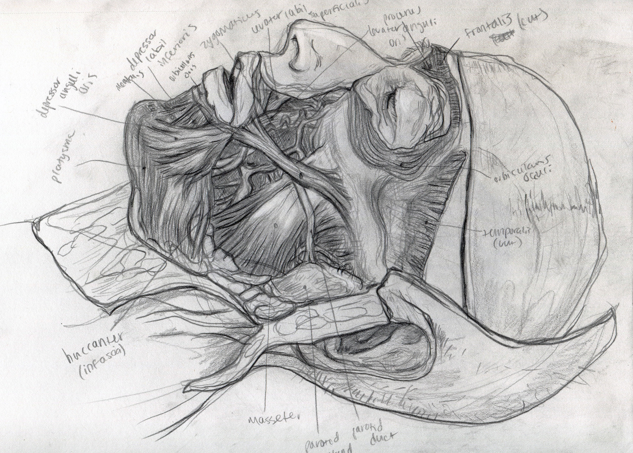 Cadaver Sketches -