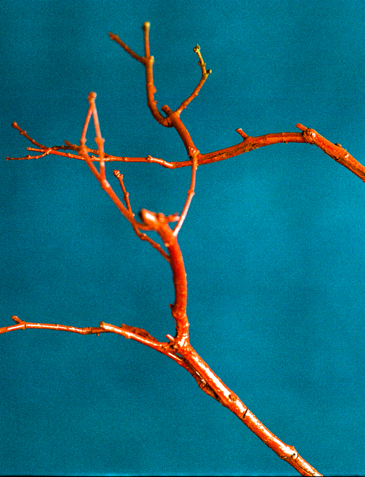 julien_capelle_photography_nature_morte_arbre_rouge_fond_bleu.jpg