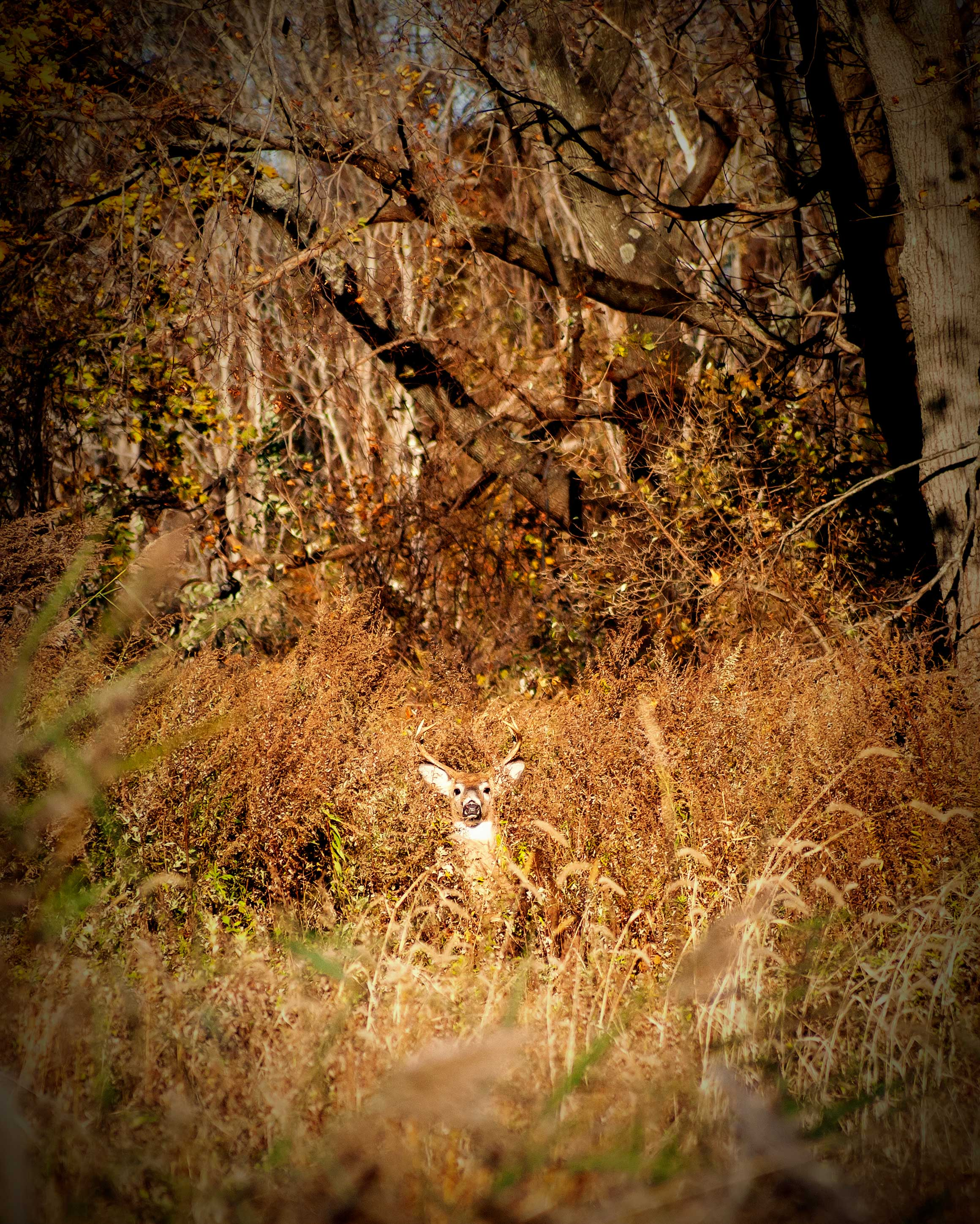 A buck standing in the forest