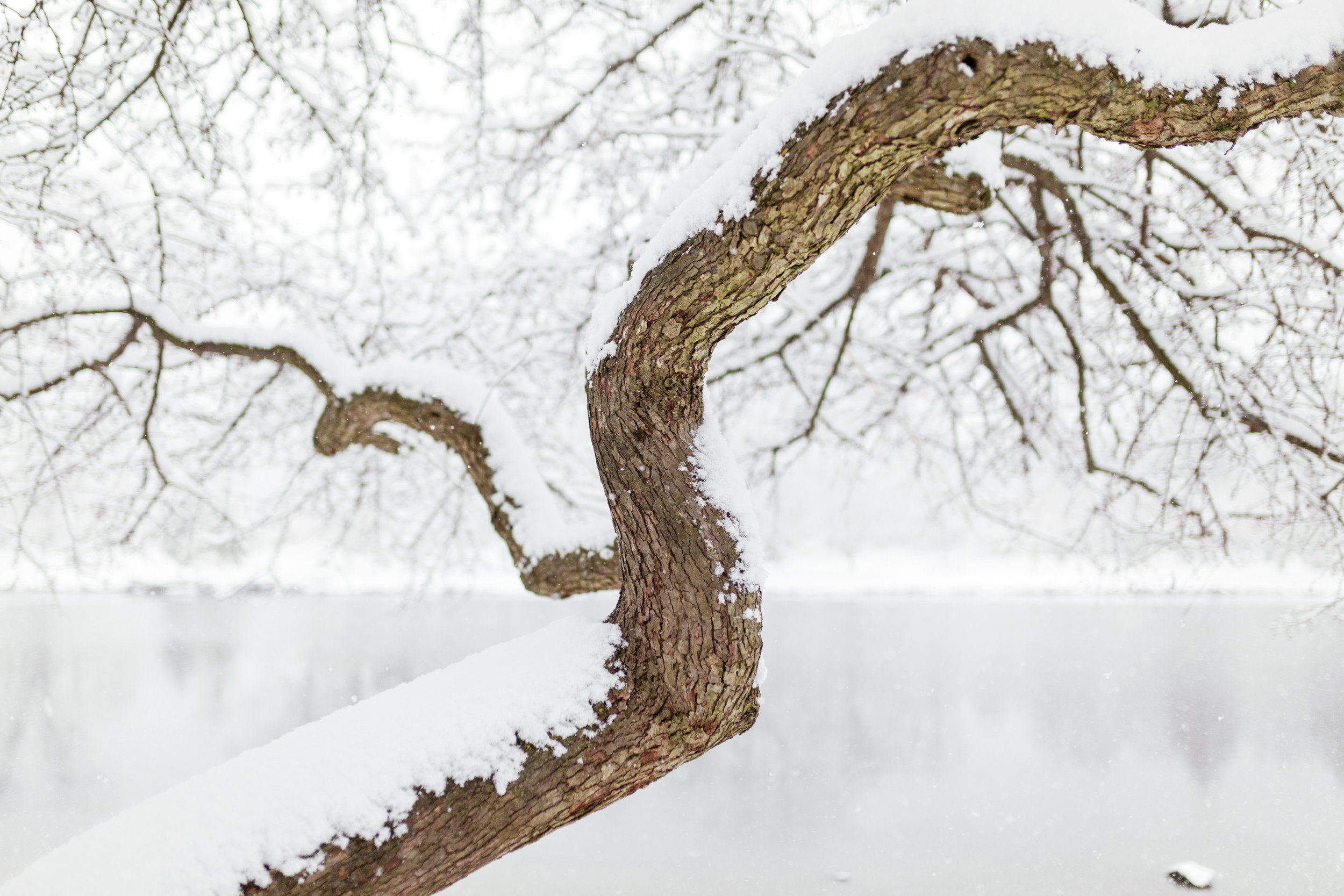 A tree covered in snow by the pond