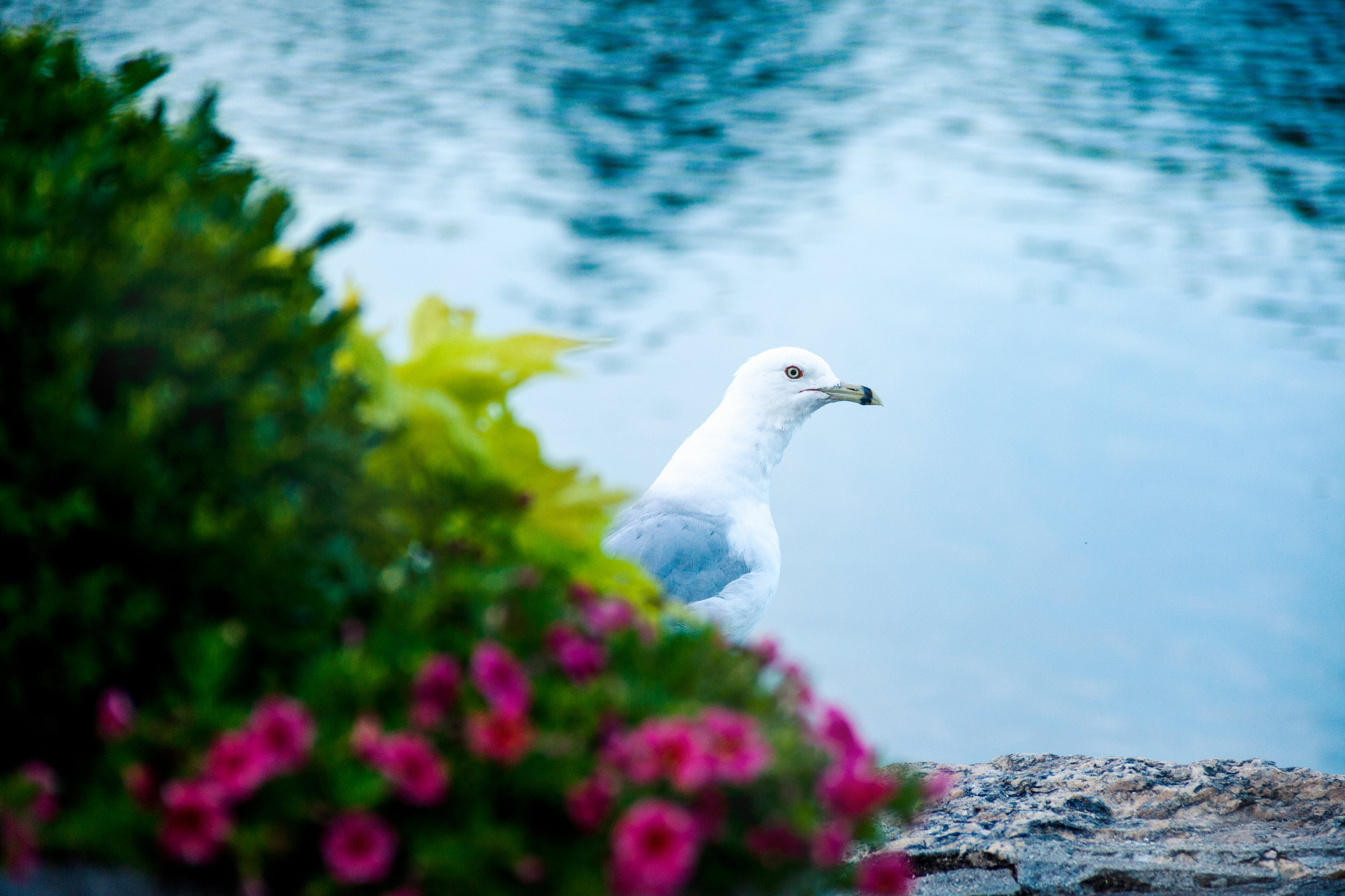The seagull behind the flowers
