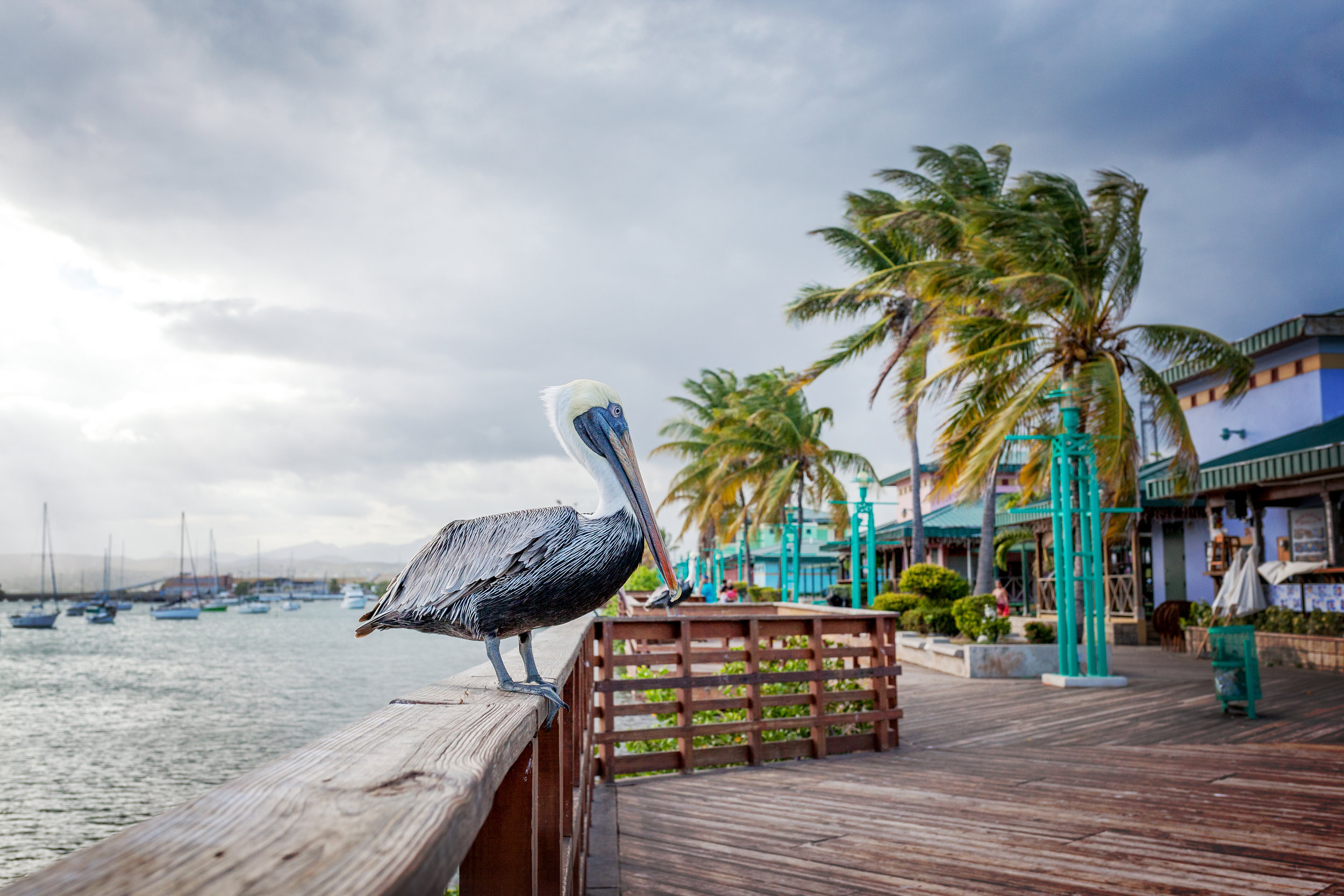 A pelican is waiting for food