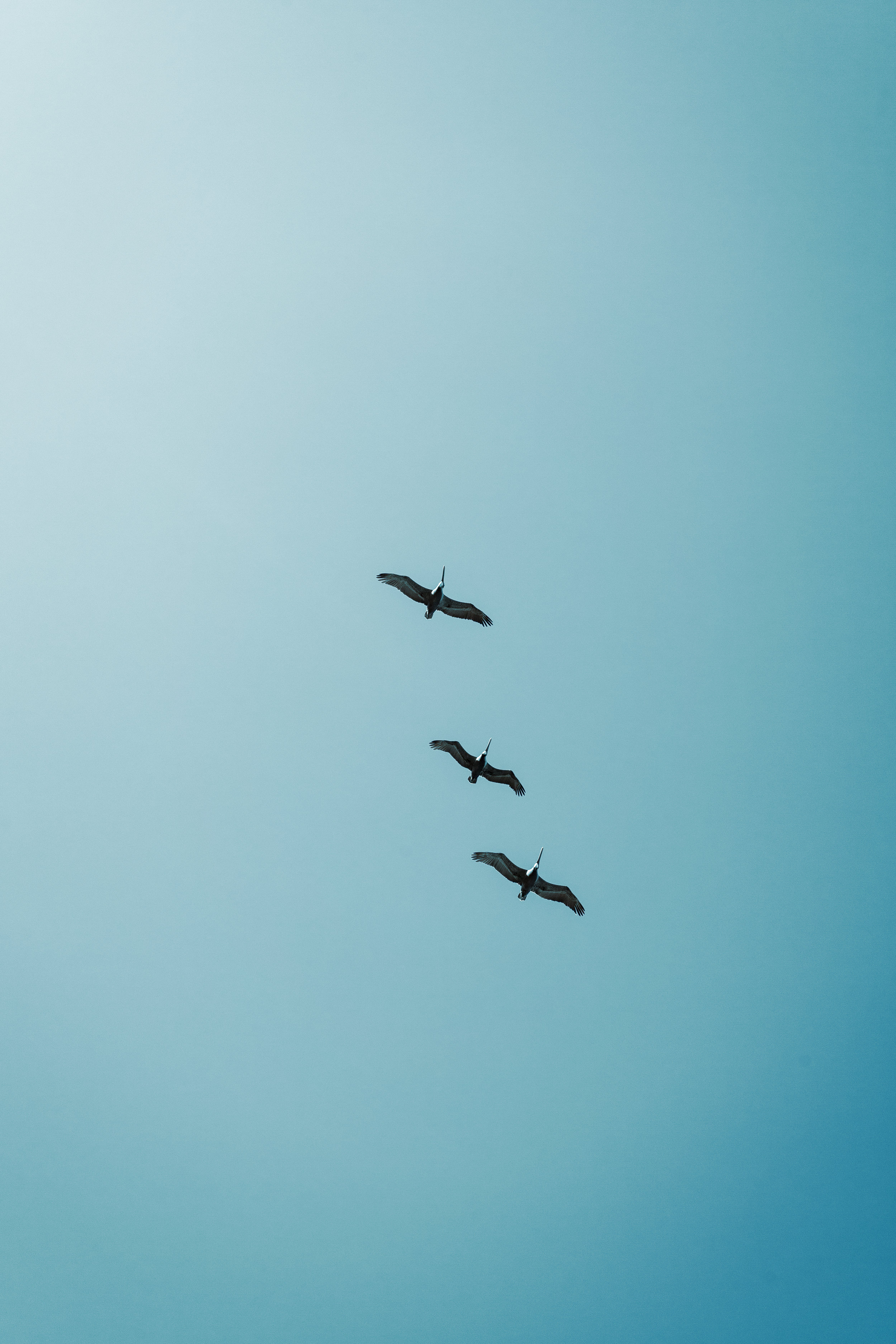 A flock of pelicans is flying by