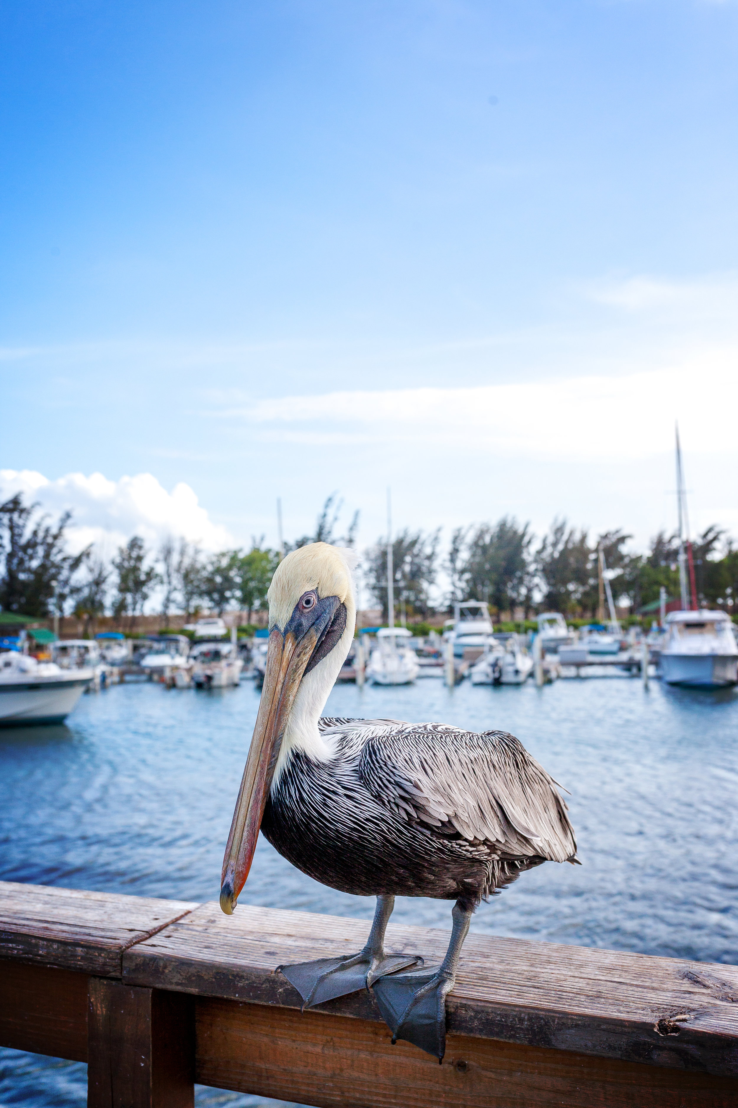 A pelican at the harbor