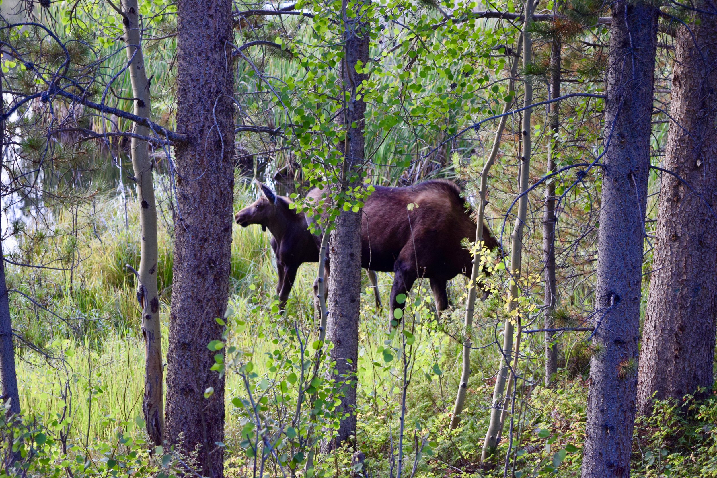 And little baby moose!