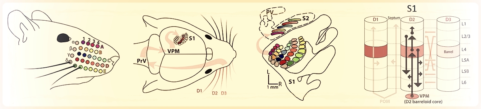 Sensory information arriving at the whisker follicles is projected into an orderly map in S1, where neural projections extend within and across cortical columns.