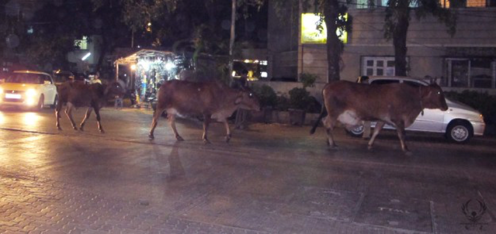 Cows wander the streets of Mumbai freely.