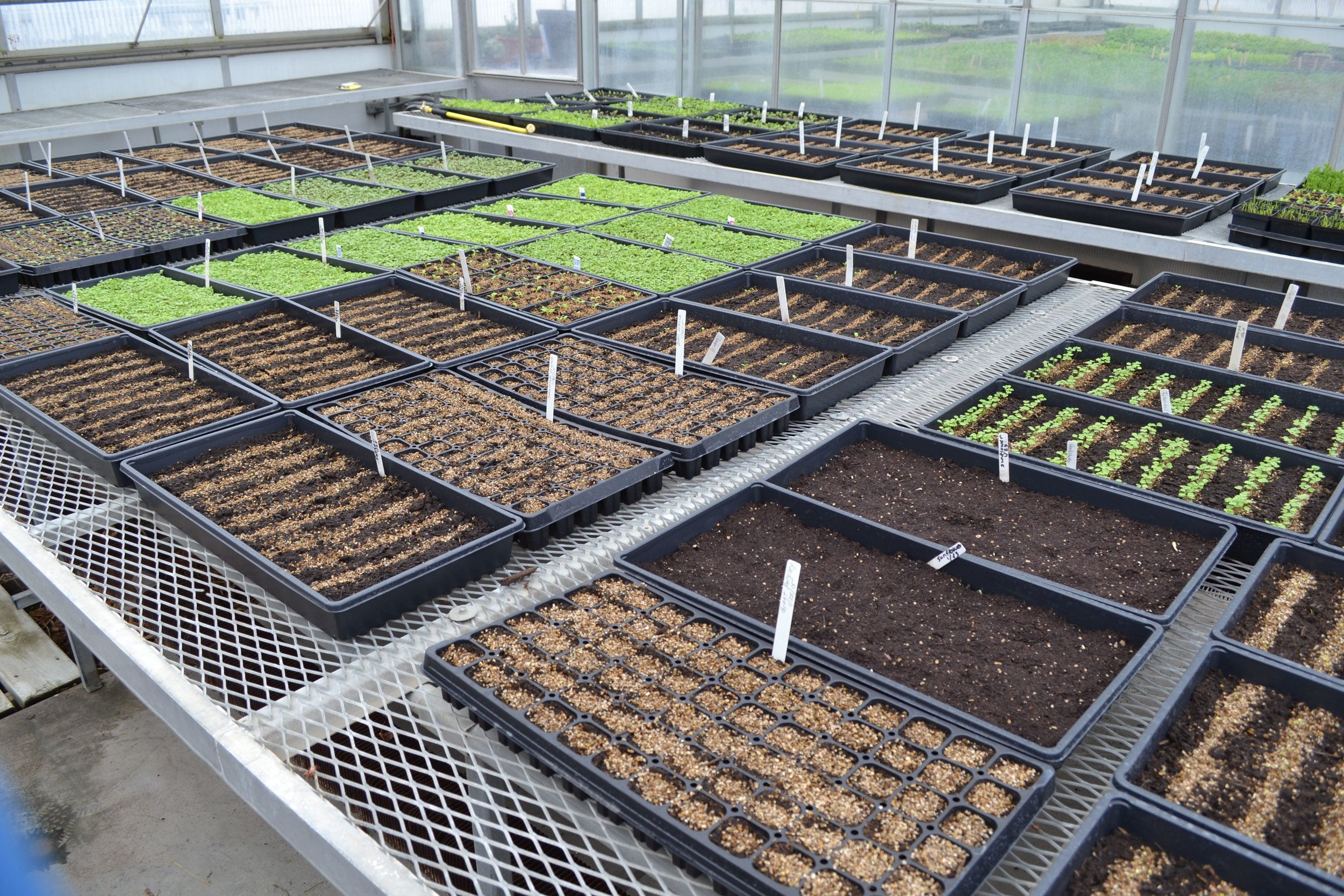 Seed Starts in the Greenhouse
