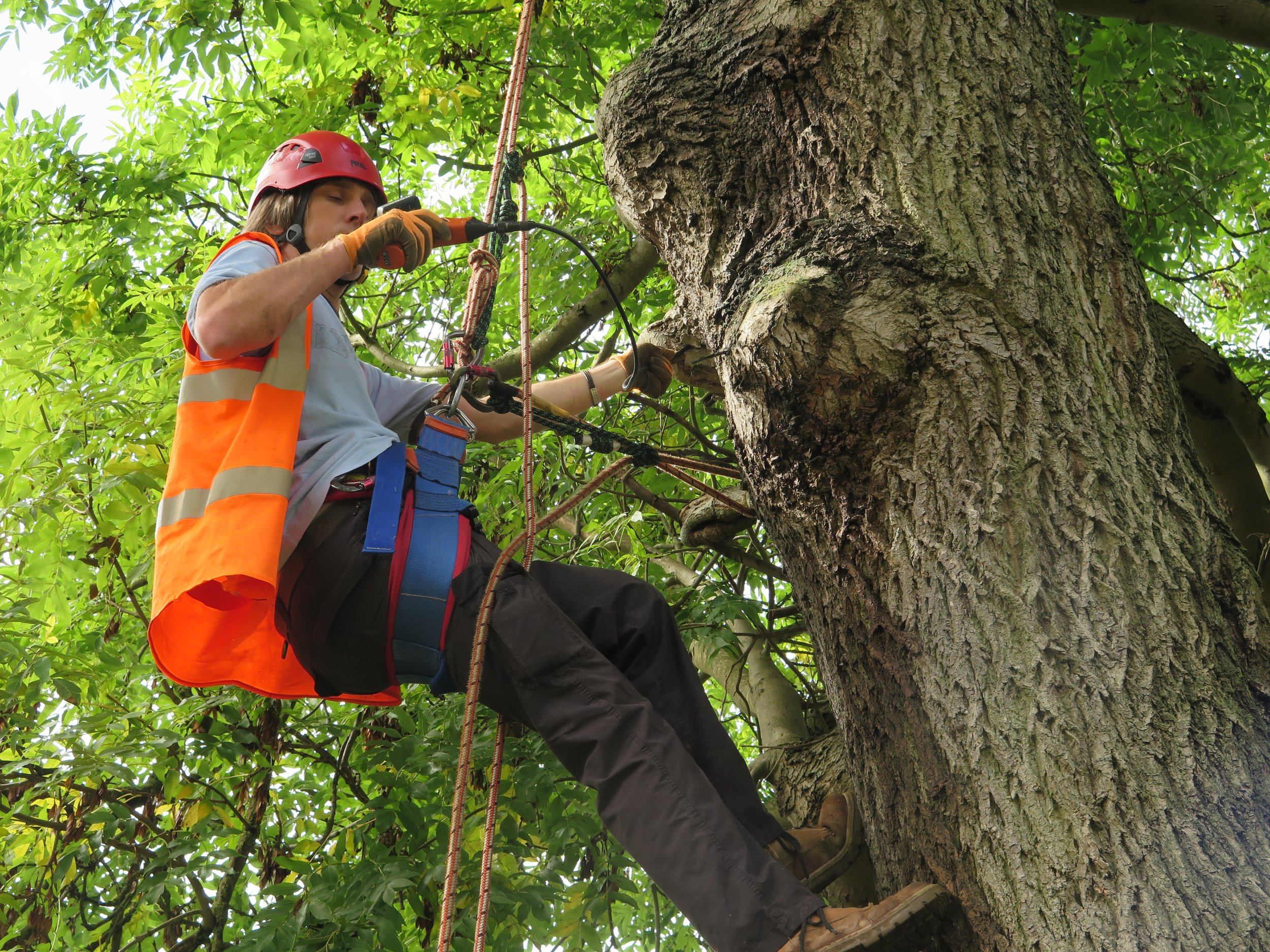 One of our Senior Ecologists using a video endoscope to inspect a potential roost feature on an ash tree.