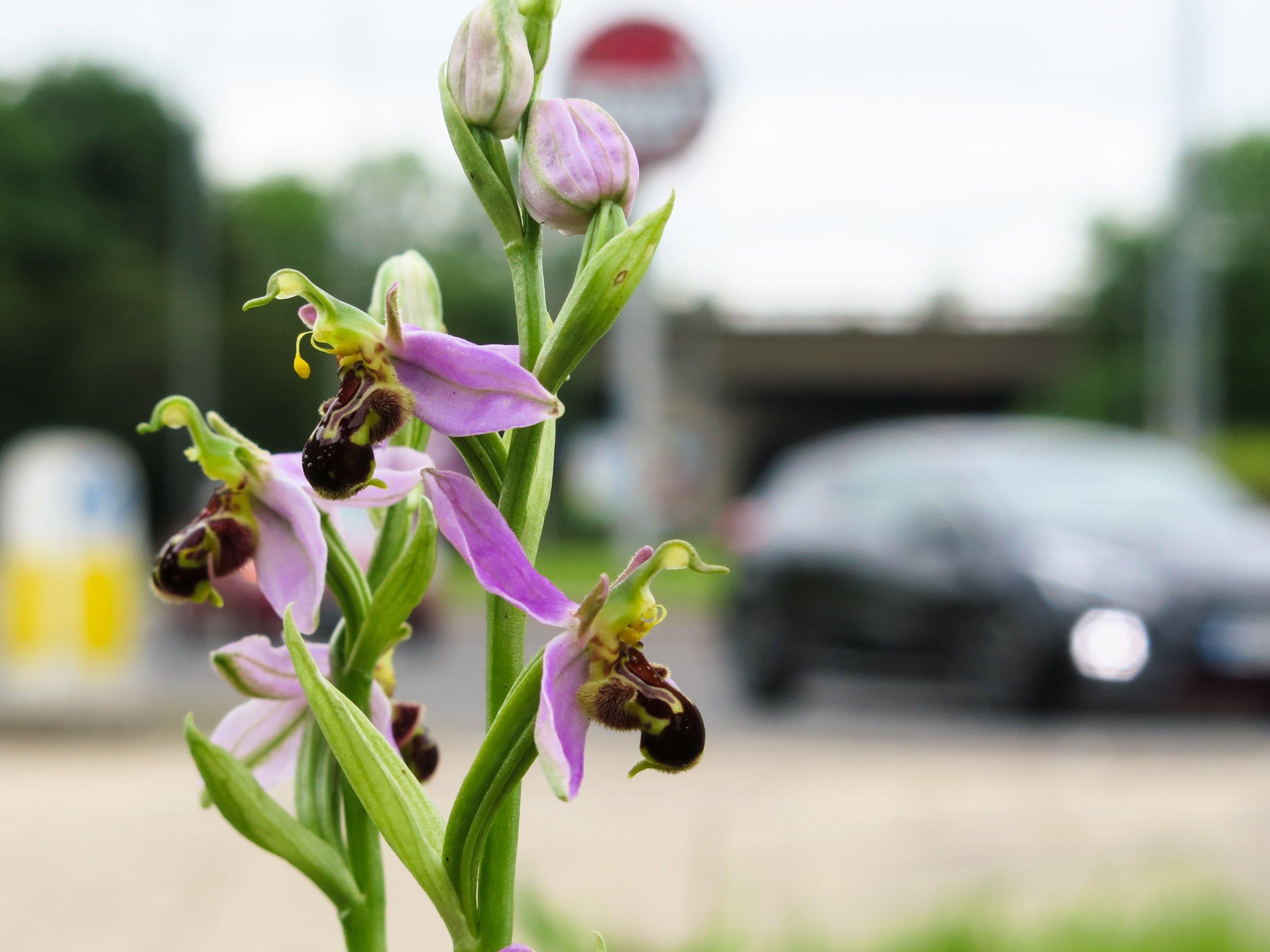 Bee orchid in semi-urban habitat beside road scheme
