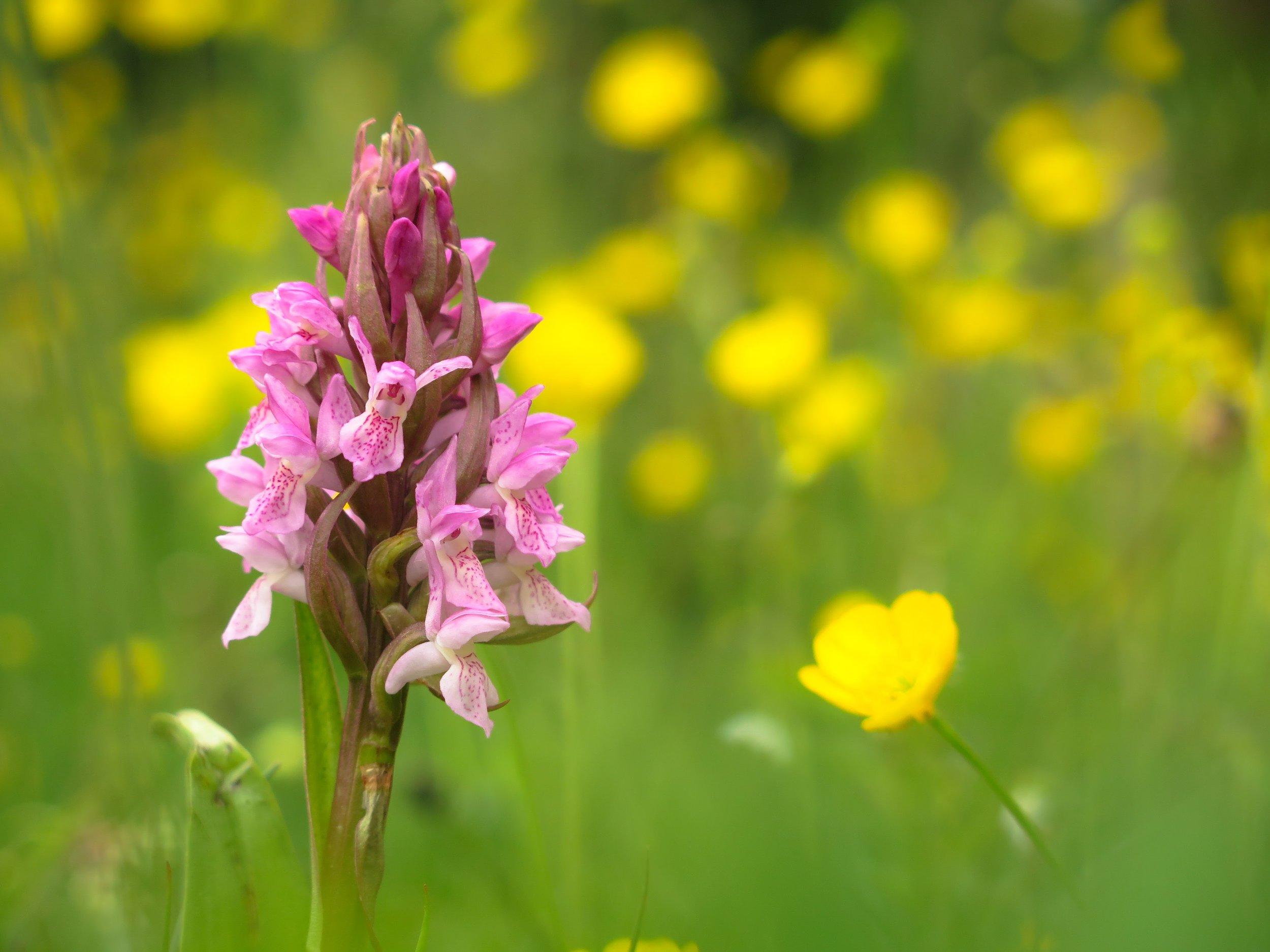 orchid distribution assessed using specailist surveys