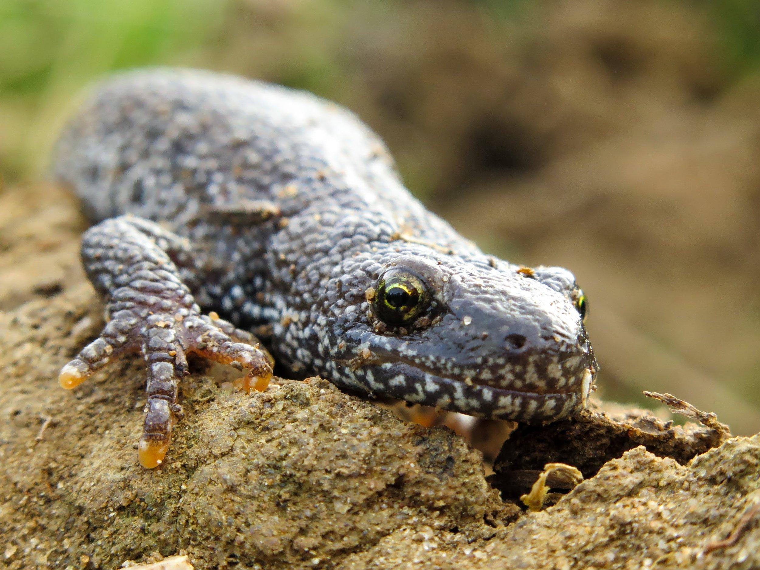 Great crested newt in terrestrial habitat