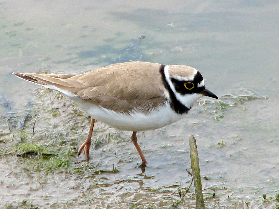 Little ringed plover wading
