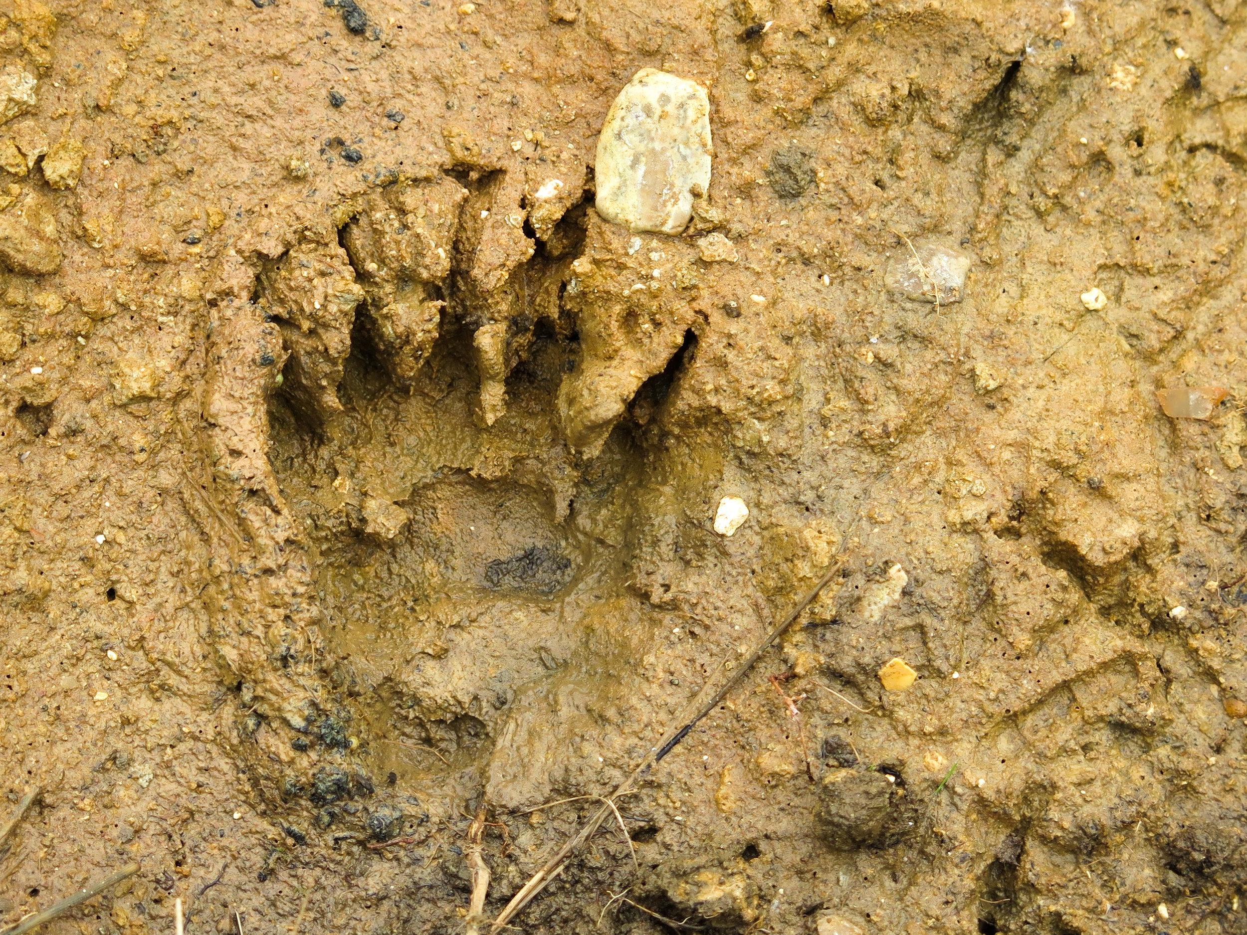 badger footprint in mud
