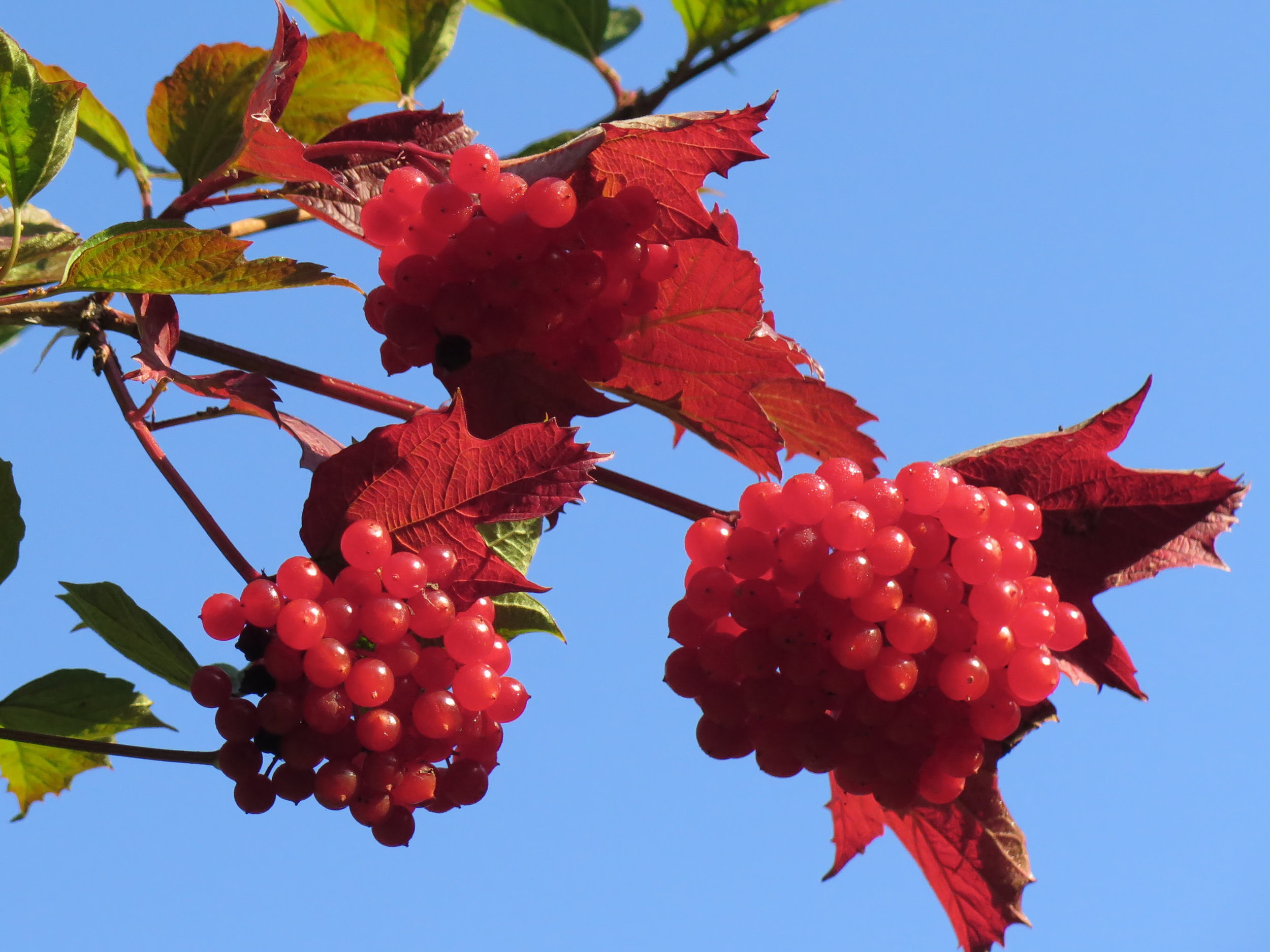 Guelder rose - an example of a species which looks fantastic within a new landscaping scheme but also delivers ecological benefits through provision of autumn berries for local bird populations