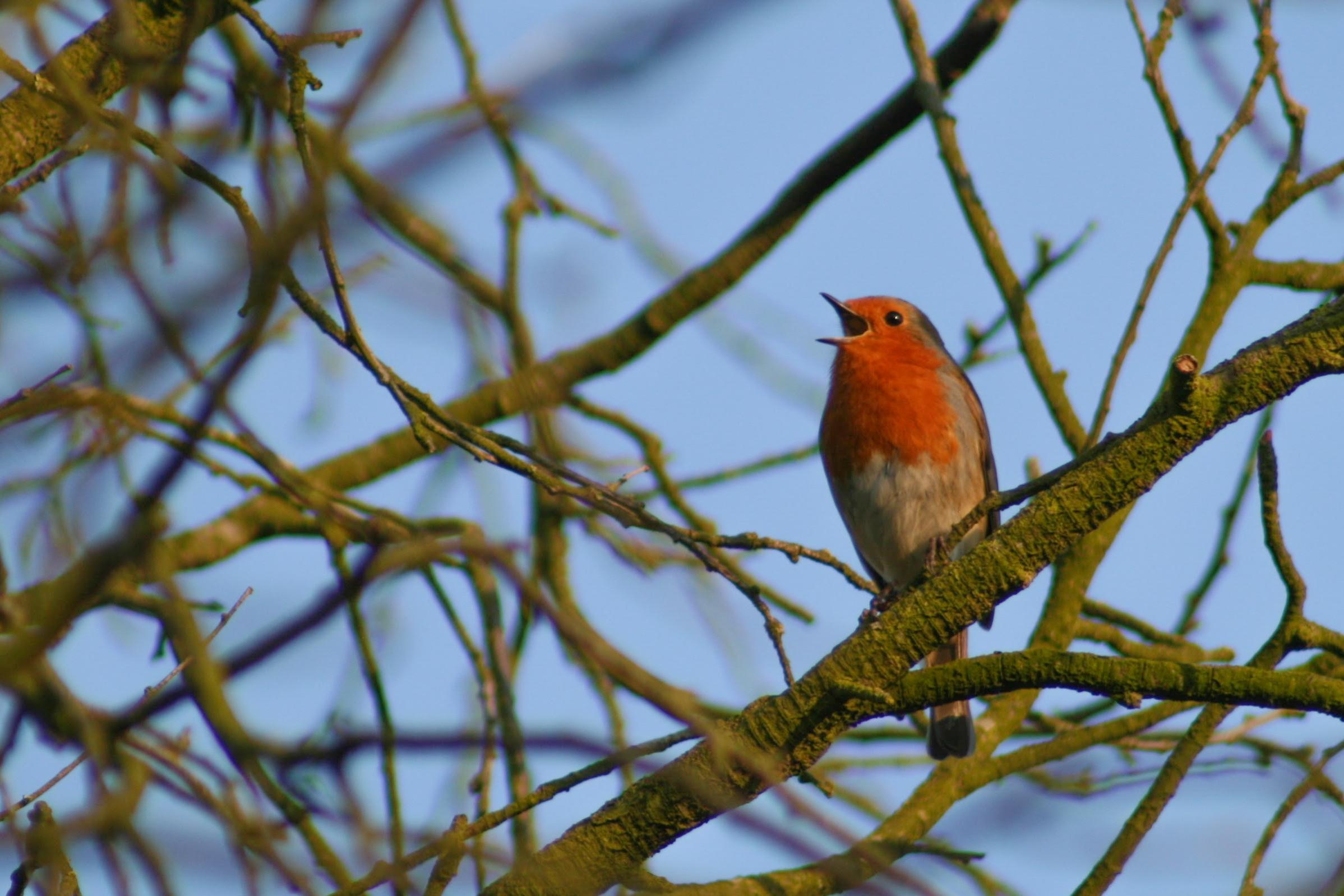 A robin displaying territorial singing behaviour