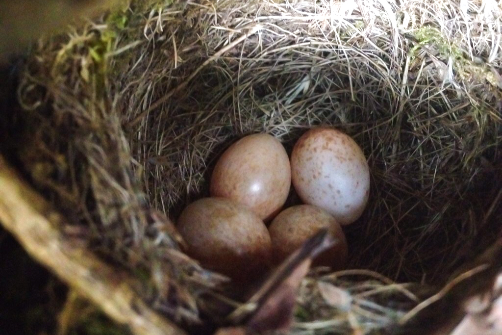 A nest with eggs identified during a pre-clearance nesting check which prevented their damage or destruction and ensured that the contractors remained on the right side of the law.