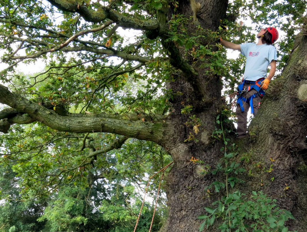 Mature tree surveyed to advise client on impacts of development