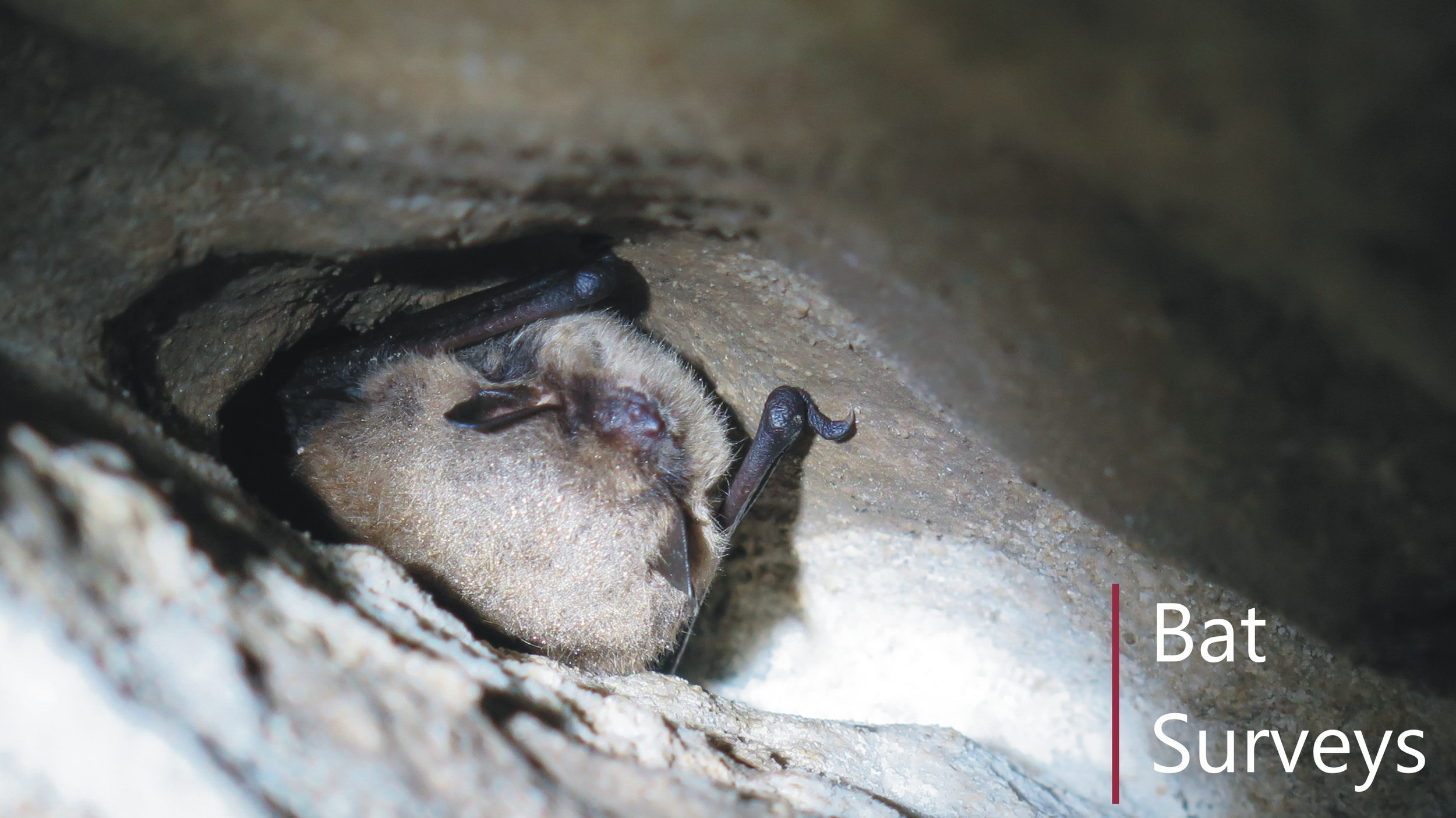 Bat building and hibernation survey in Leicestershire
