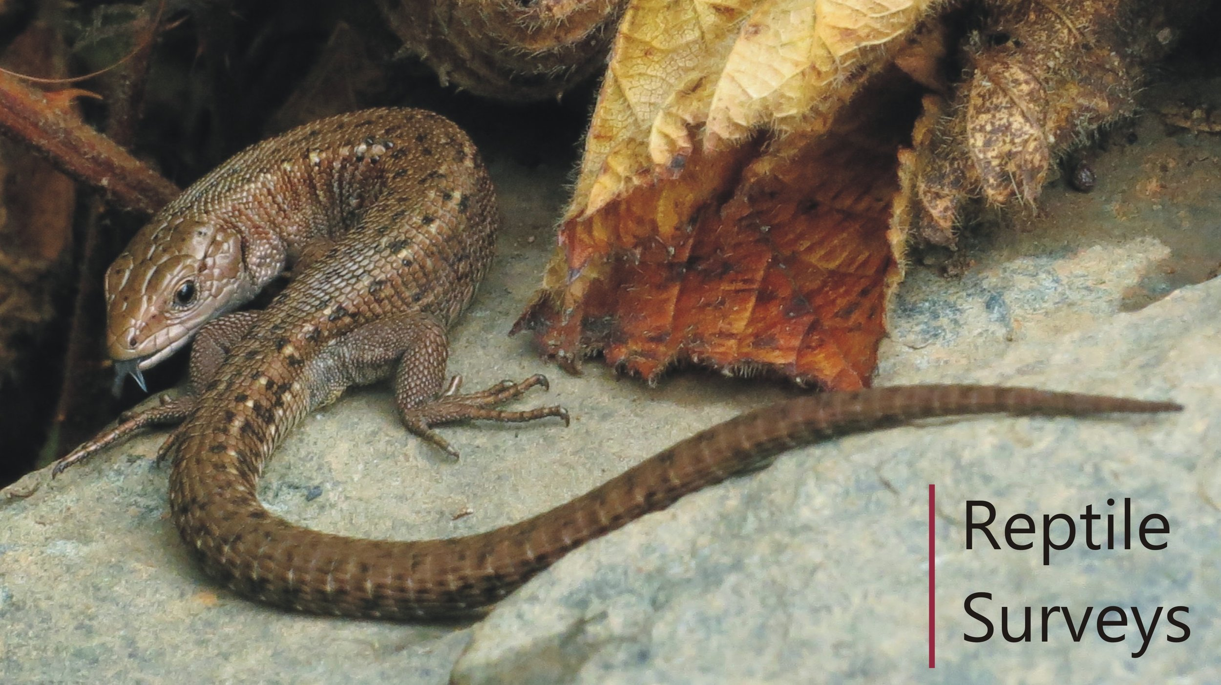 Common lizard found during a Reptile survey in Nottinghamshire, grass snake also found
