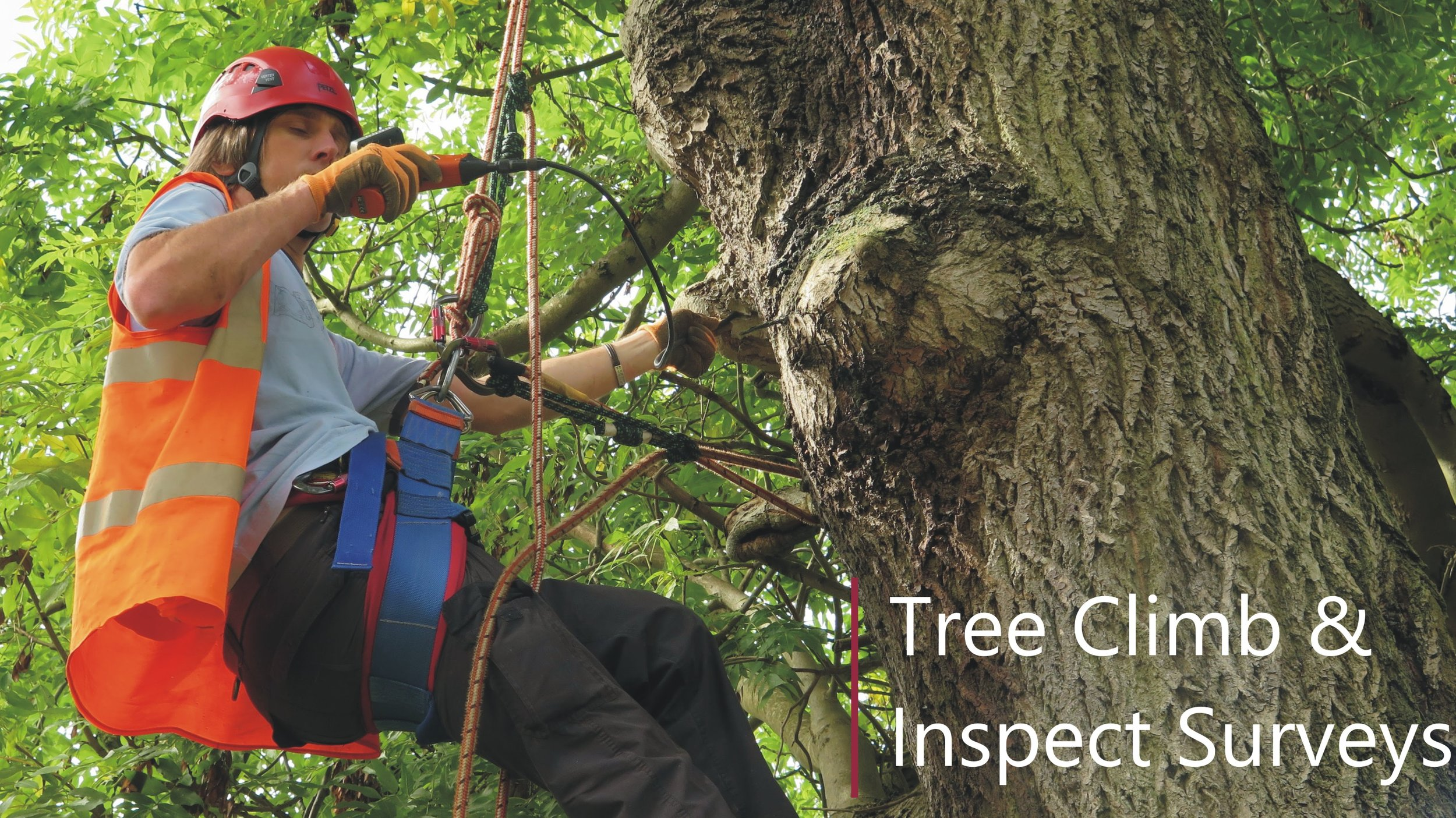 Tree climb inspection for roosting bats - aerial assessment - with licenced and CS38 qualified climber in Birmingham
