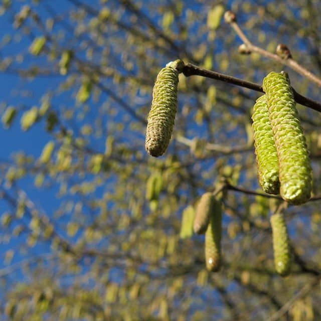 At the beginning of March, we're beginning to see the first green shoots of spring. You might have noticed shrubs bedecked with catkins - these are most likely #hazel. The catkins are the male flowers which release pollen to be dispersed by the wind. What you may not have noticed are the tiny red female flowers borne on the same branches - these are just a few millimetres long and look a little like red sea anemones. Now is an ideal time to commission a Preliminary Protected Species Survey to find out what ecological receptors you might have on your site. Early identification before the main spring and summer season gives plenty of time to undertake further surveys for species such as newts without minimum effect your programme. Check out our Phase 1 and Preliminary Protected Species/Scoping Surveys on out website https://www.landscapescienceconsultancy.com/scoping-survey #ecology