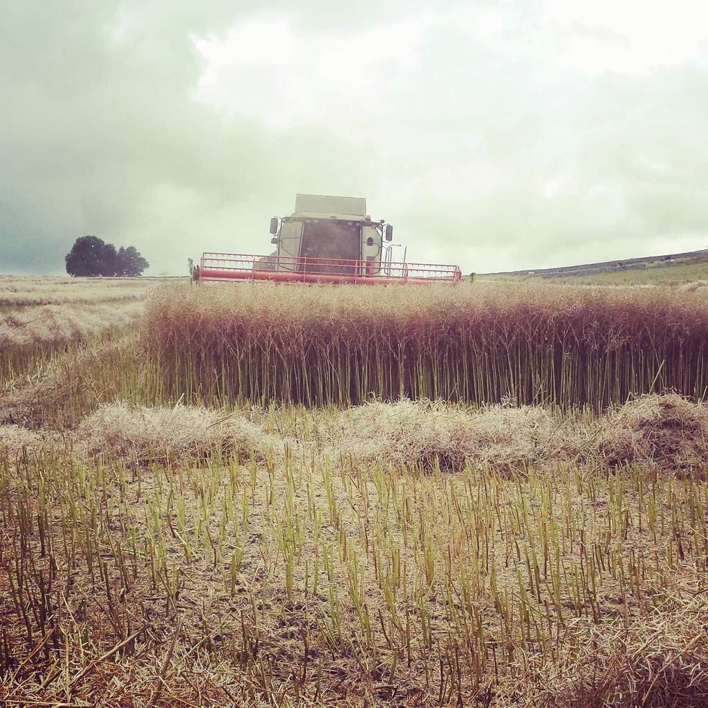 oil seed rape crop