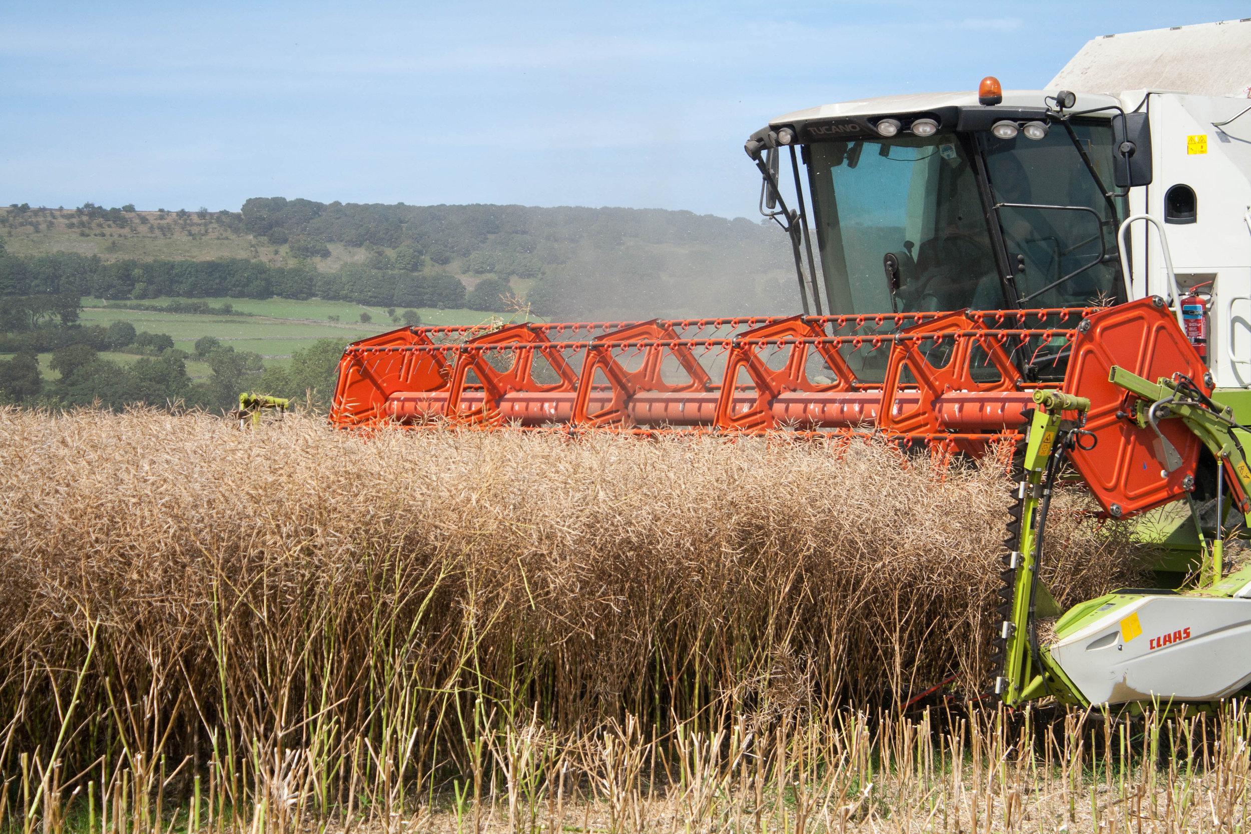 Oilseed rape crop harvest