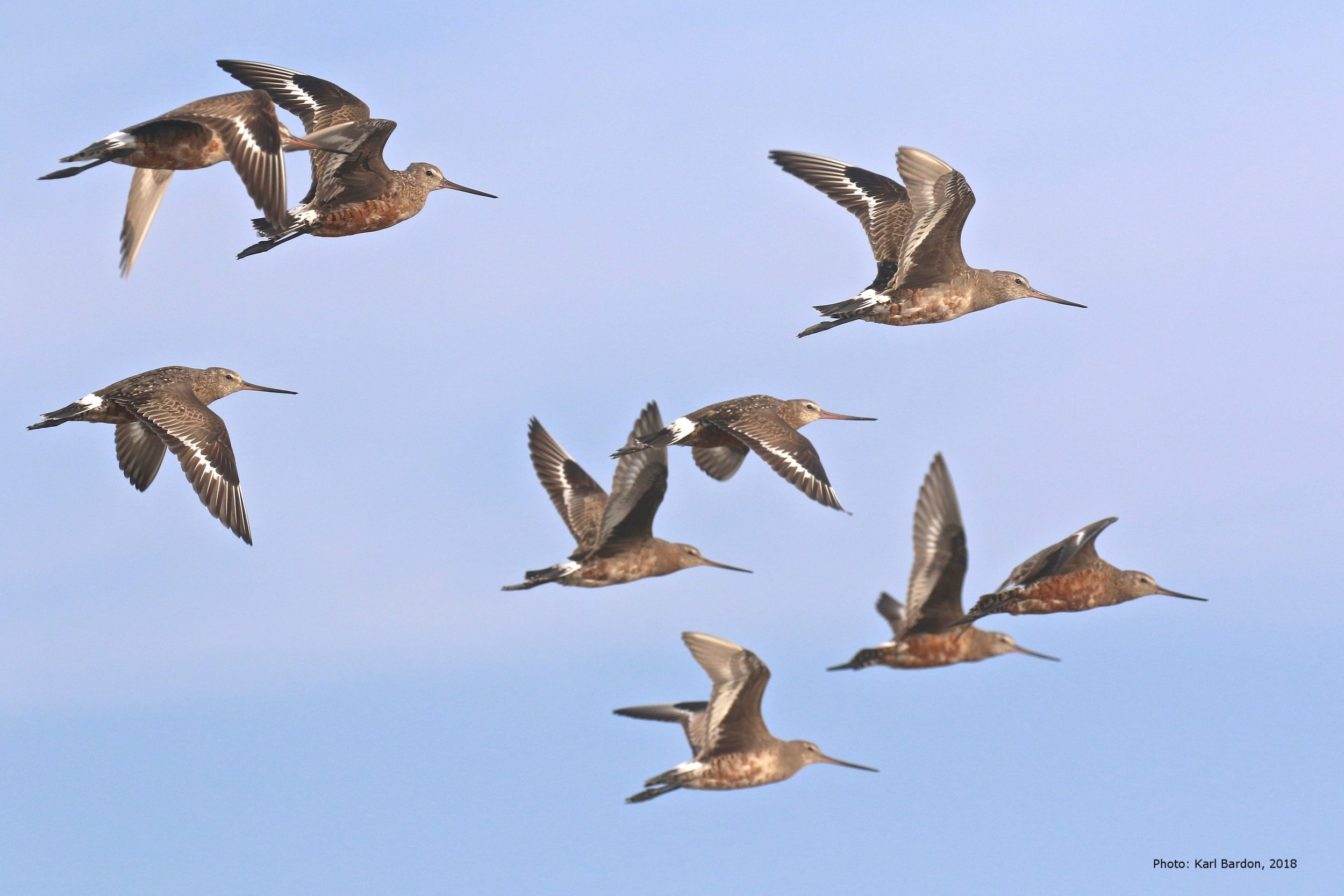 Hudsonian Godwits in flight. Photo courtesy of Karl Bardon.