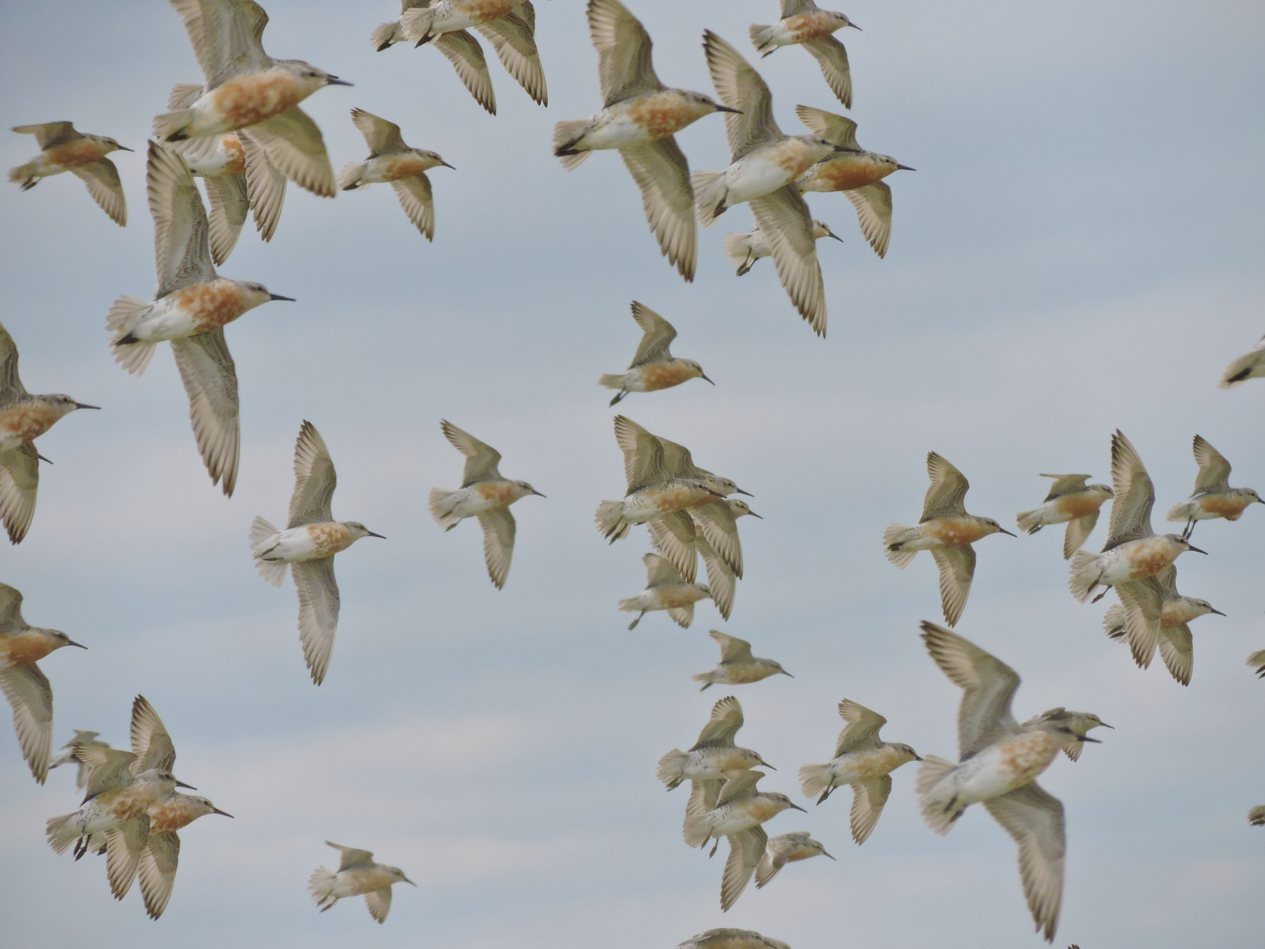 Red Knots in flight at Little Piskwamish Point.