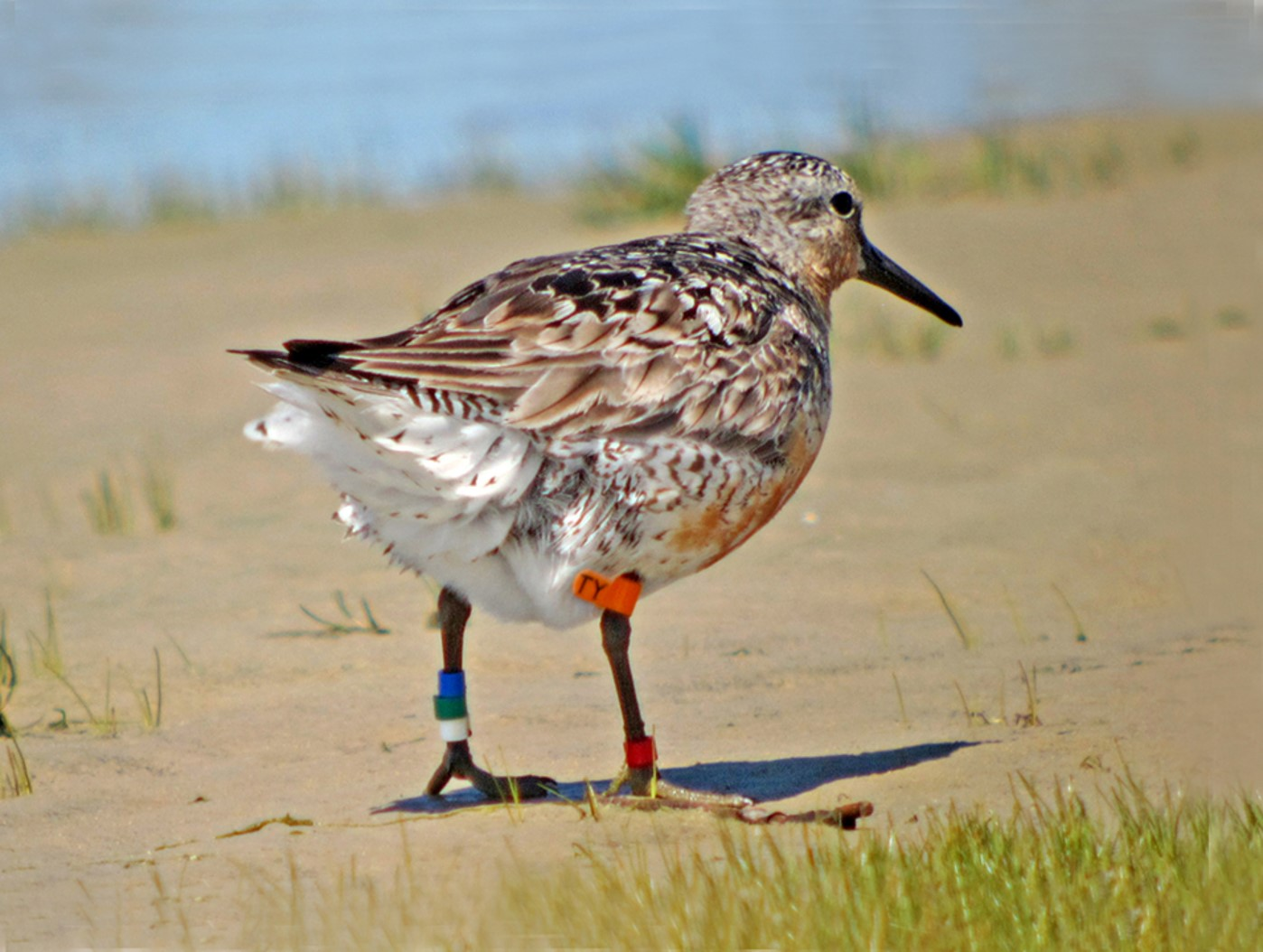 Red Knot TY was banded in Argentina and has been seen in James Bay many times. Photo courtesy Jean Iron.