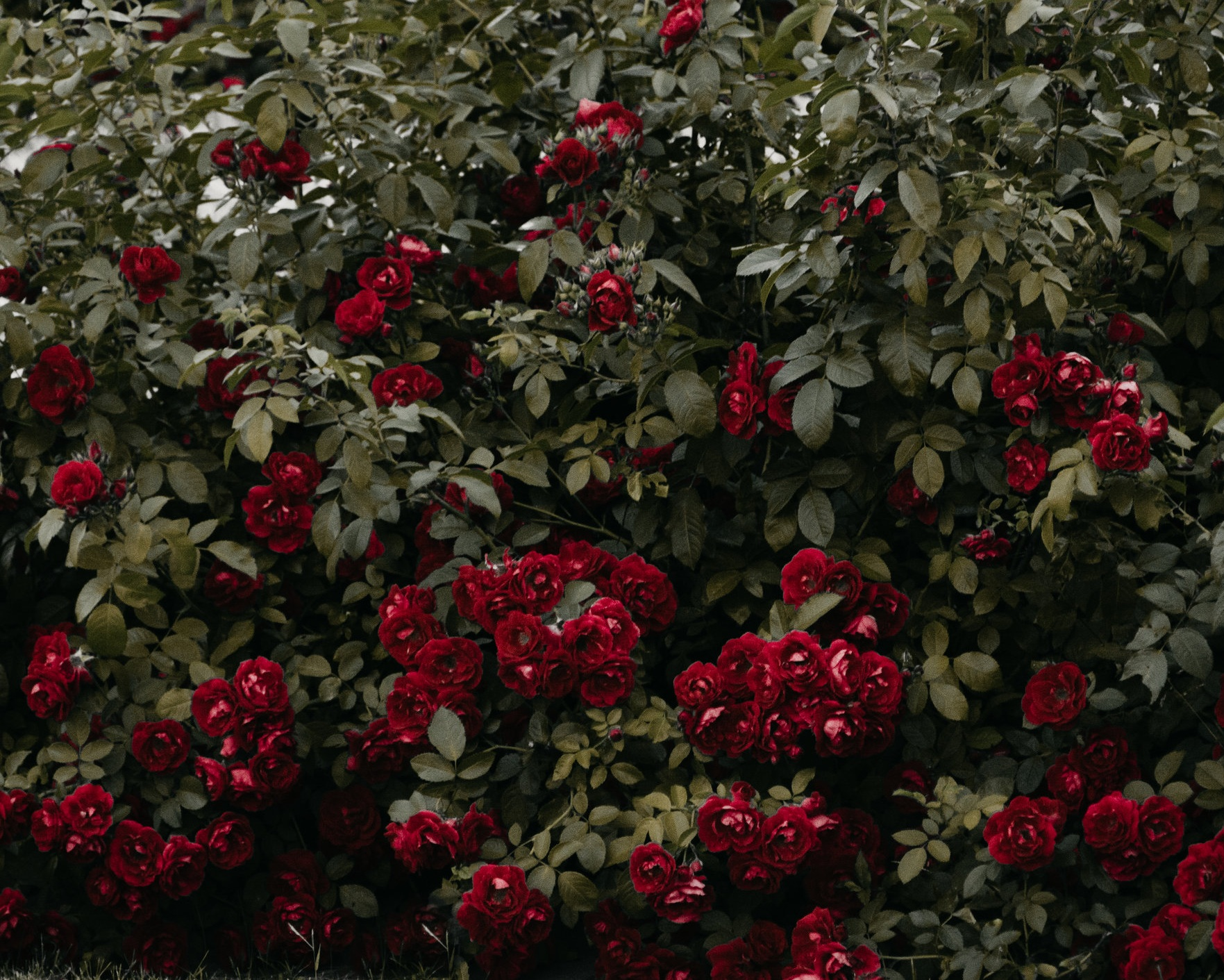 Rose - One of the fundamental symbols of alchemy with many manuscripts called 'Rosarium' meaning Rose Garden. Roses were widely used medicinally in ancient times. The scent of a rose relaxes and strengthens, imparting a feeling of calm and well-being.