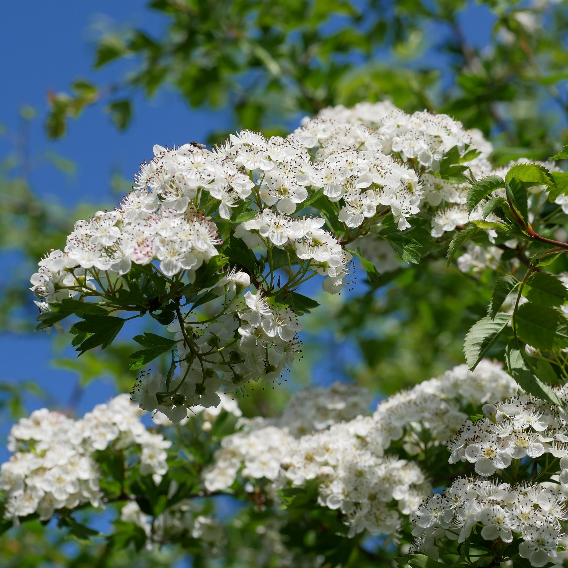 Hawthorn  - May blossoms are emerging everywhere in the Essence + Alchemy Garden. Hawthorn [Crataegus] also named May-tree is the only British plant named after the month in which it blooms.