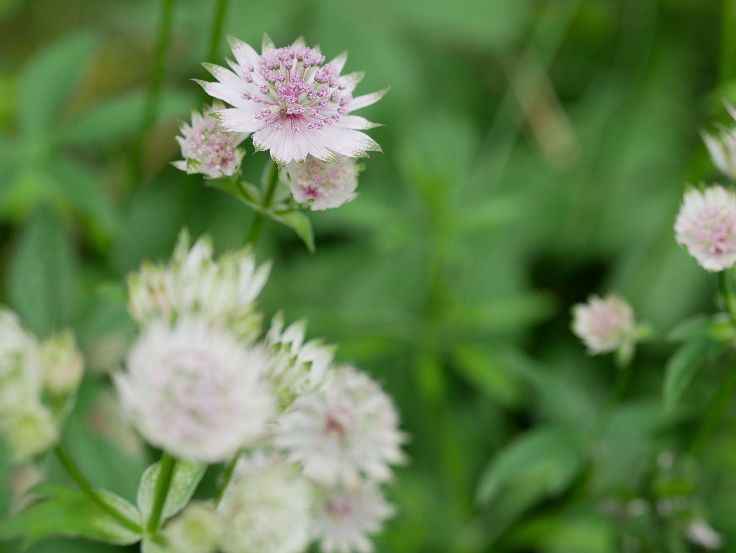 Great Masterwort - Astrantia major, (Great Masterwort, or 'Hattie's Pincushion' as it was called in the past), is a member of the Apiaceae family (parsley and carrot family).