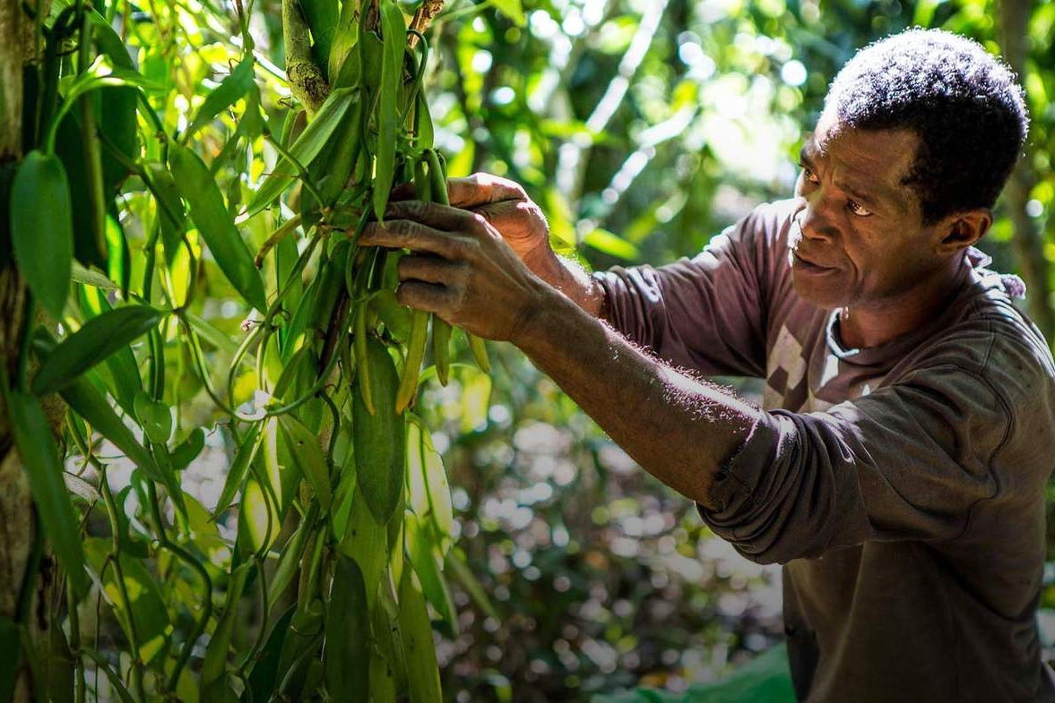 Vanilla - Vanilla is everywhere, used extensively in the fragrance and food industries. Fair Trade farmers cultivating the beans face theft of crops, violence and murder. The value of beans is increasing due to demand and changing weather patterns and with such high demand, many commit crime to get hold of the valuable product.Source Links: Sustainable Vanilla Initiative, BBCPhoto Credit: BBC