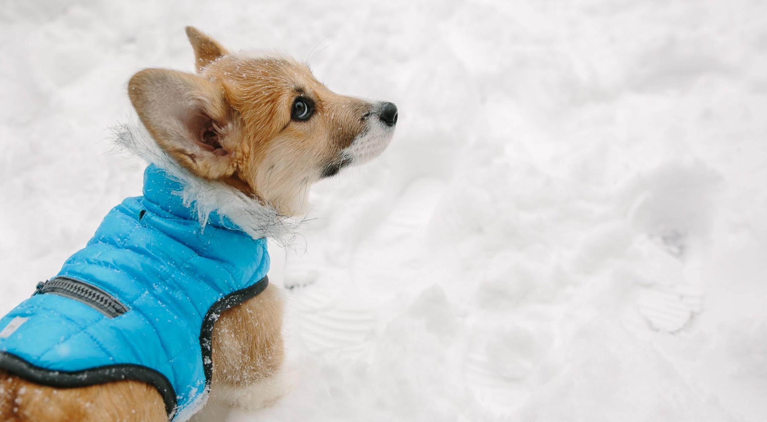 Corgi Puppy Snow