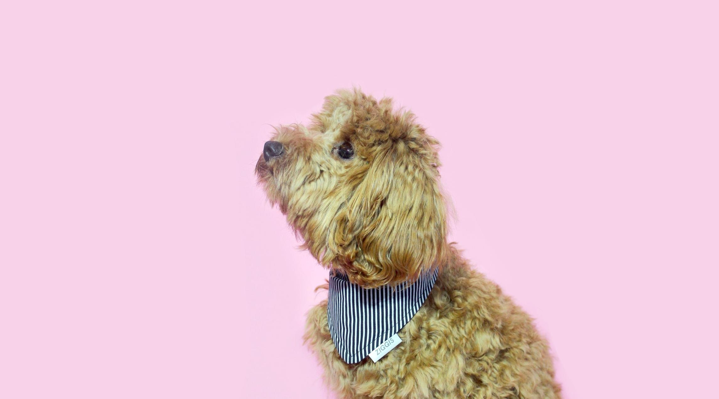 "Ziggi wears the ""Perfect Striped"" bandana from Ziggis"