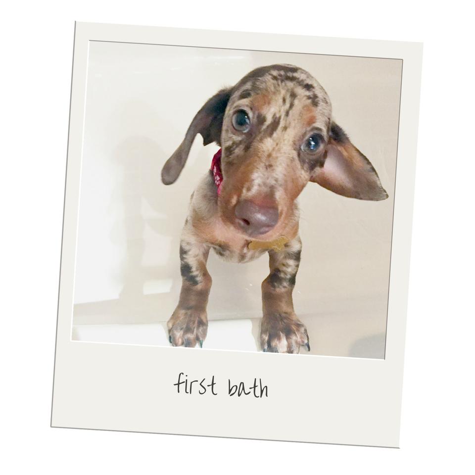 the dapple dachshund puppy
