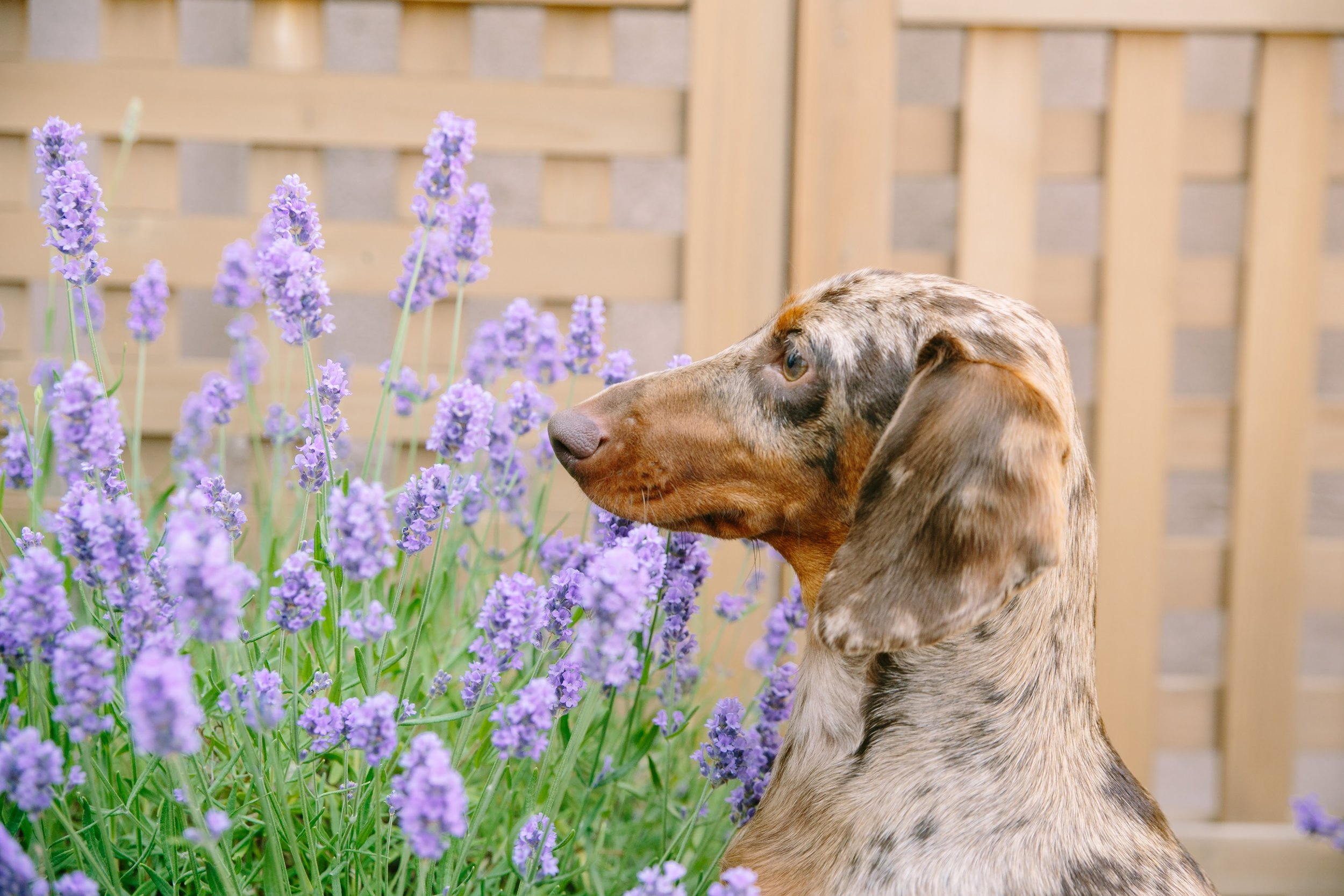 Dave in the lavender on our deck