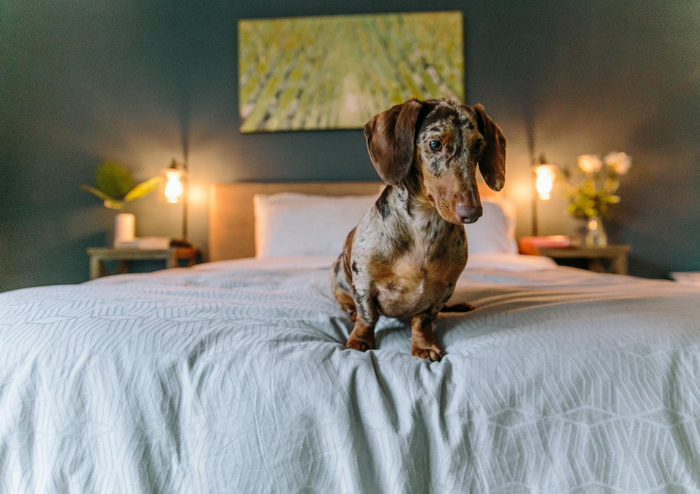 Dog in bedroom dapple