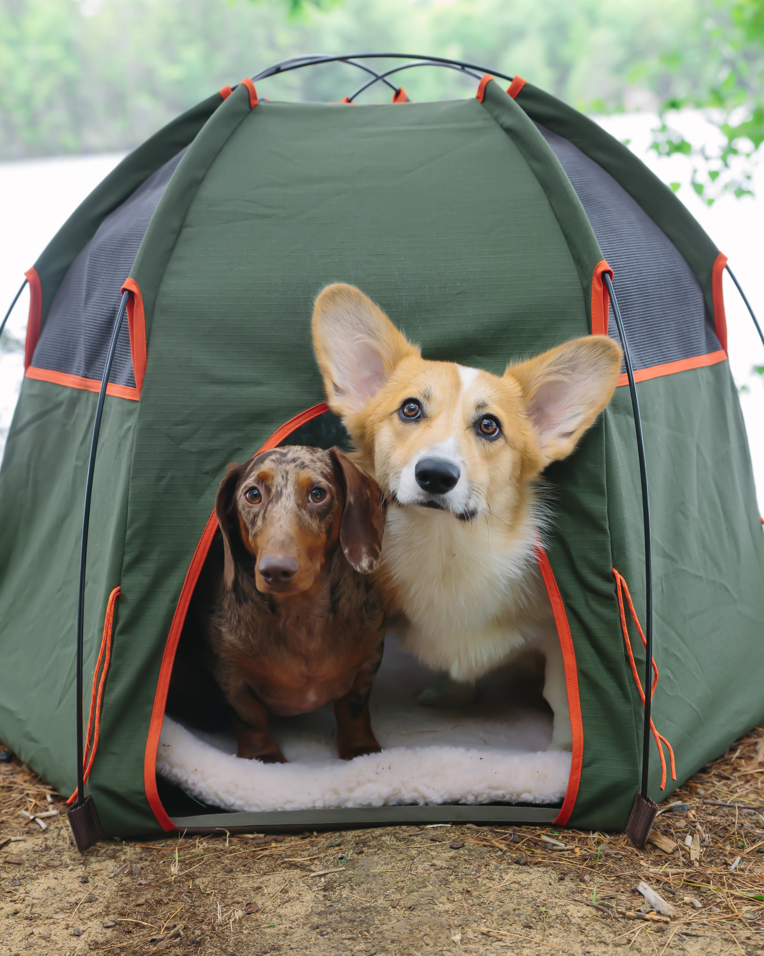 The dogs enjoying their first camping trip c/o our Wagwear tent.