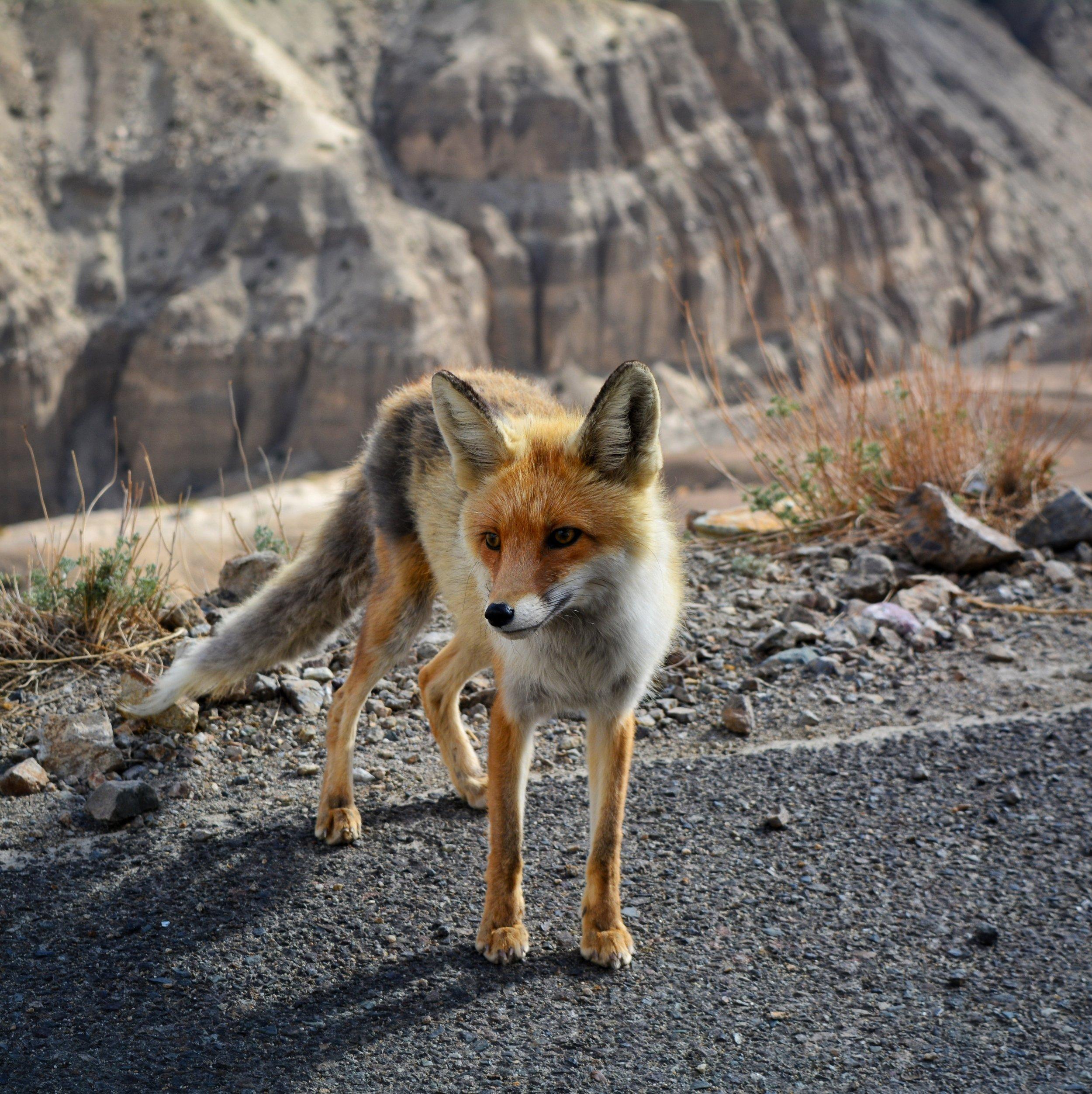 Fox on on The Dapple Dog Lifestyle Site