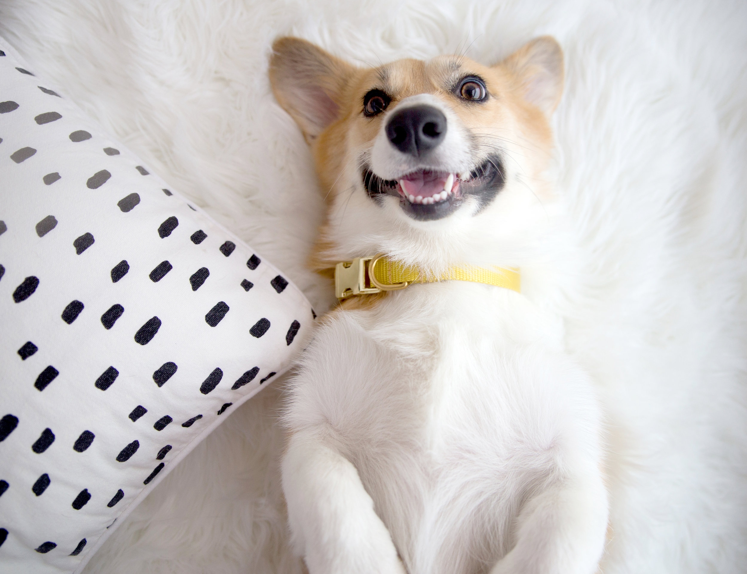 Lizzie wears a collar from  bonjour fido!'s Solid Collection